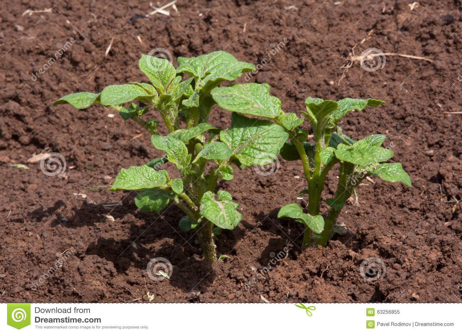 生长在菜园里的年轻土豆植物图片