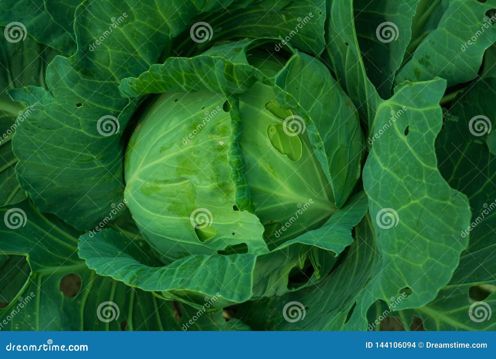 生长在菜床上的圆白菜头