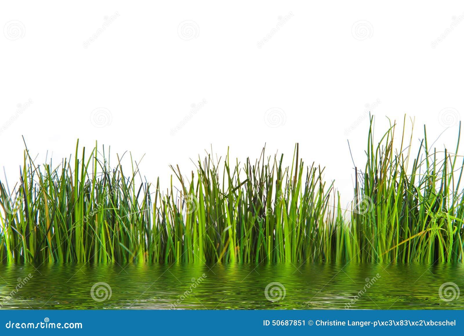 Download 生长在水的新鲜的绿草 库存图片. 图片 包括有 生气勃勃, 工作室, 地产, 空白, 夏天, 照亮, 前面 - 50687851