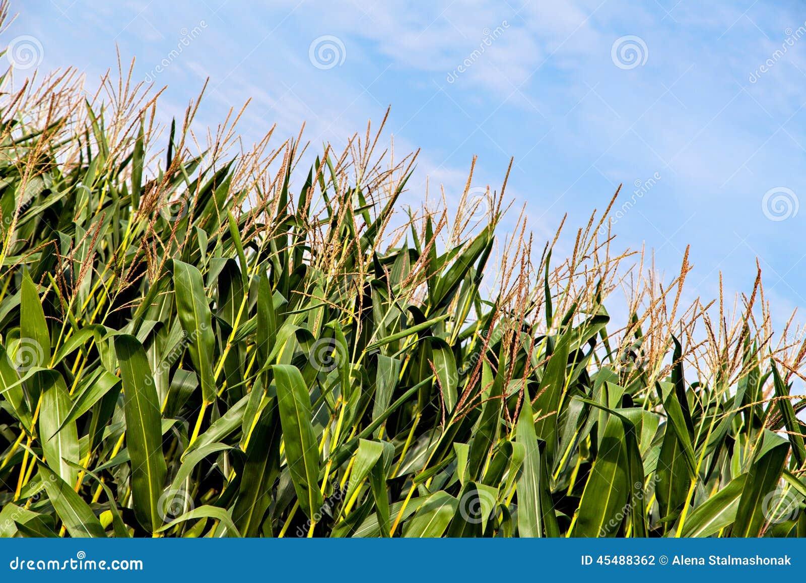生长玉米的大领域