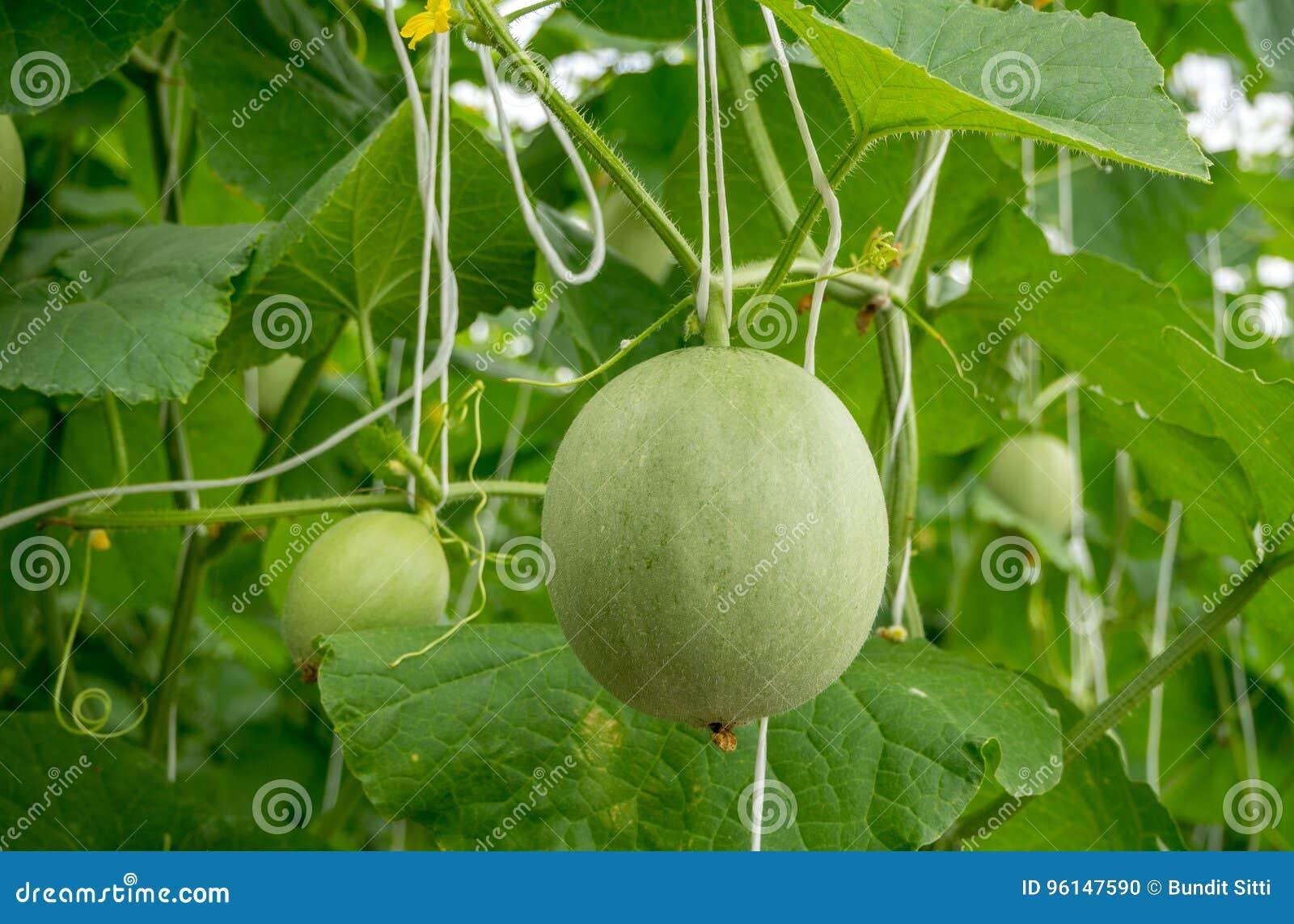 生长自温室的年轻瓜