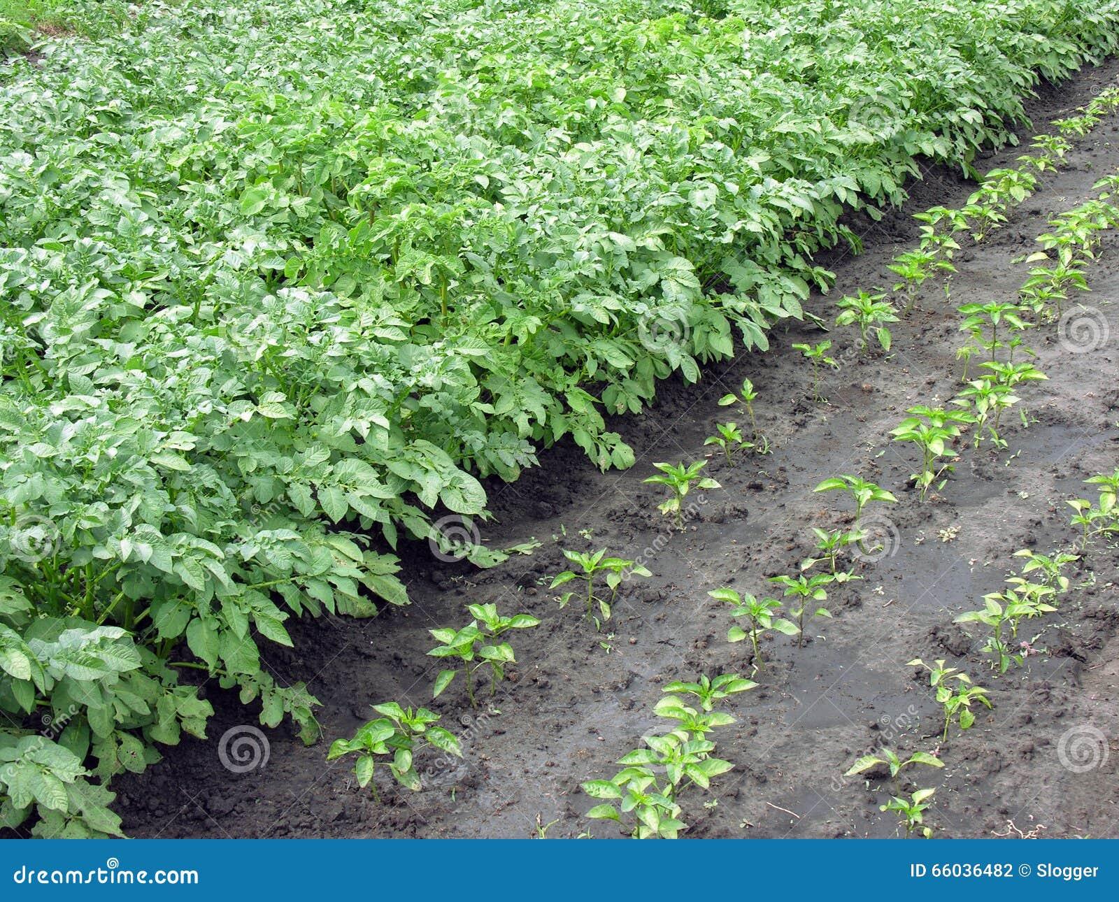 生长菜土豆和胡椒在菜园里图片