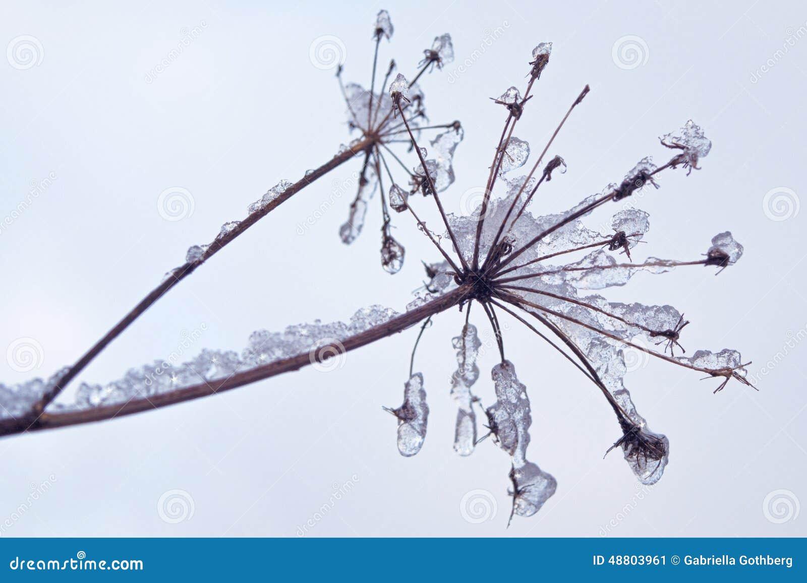 用冰和雪水晶盖的易碎的植物
