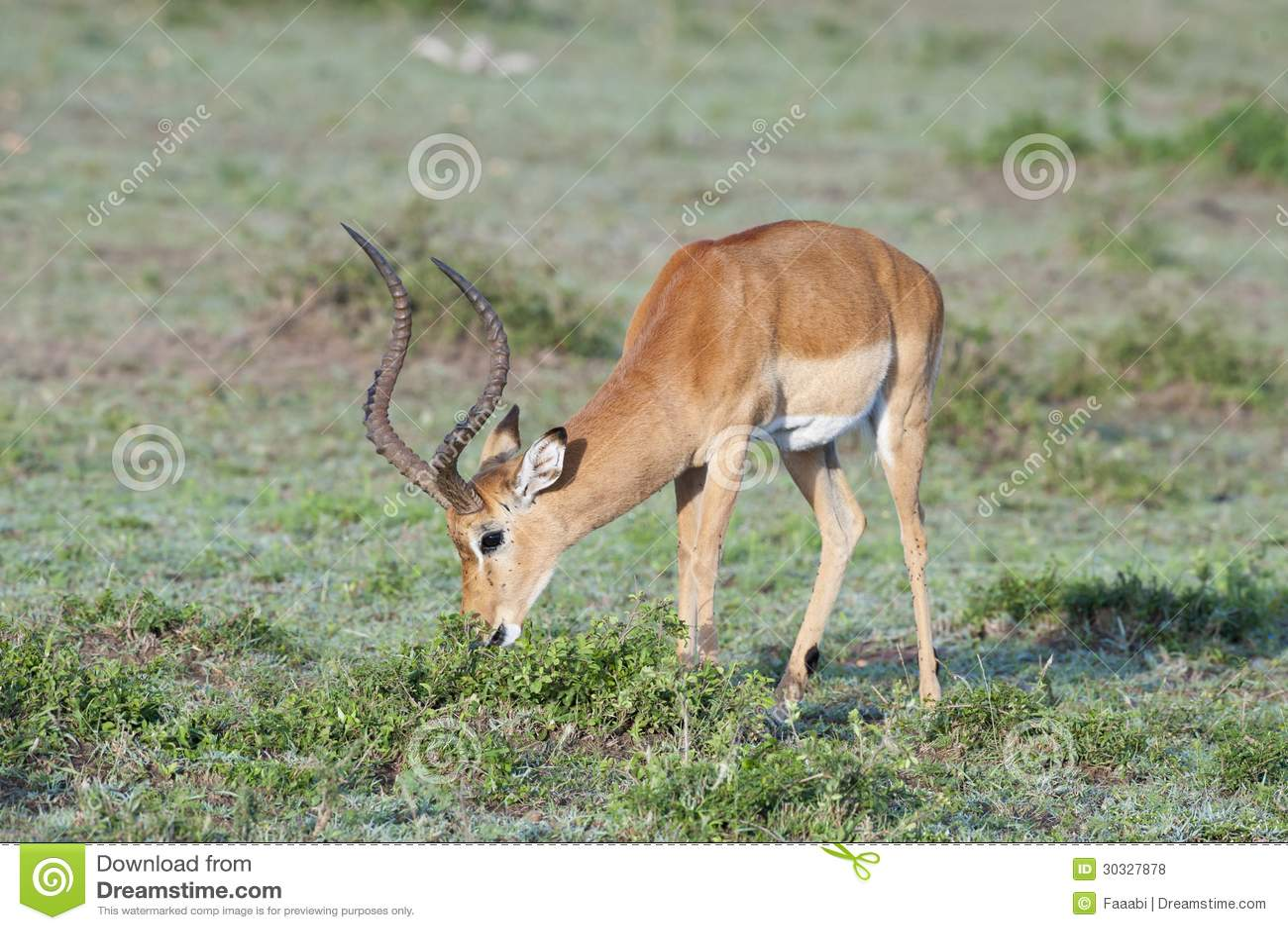 用力嚼在大草原的飞羚