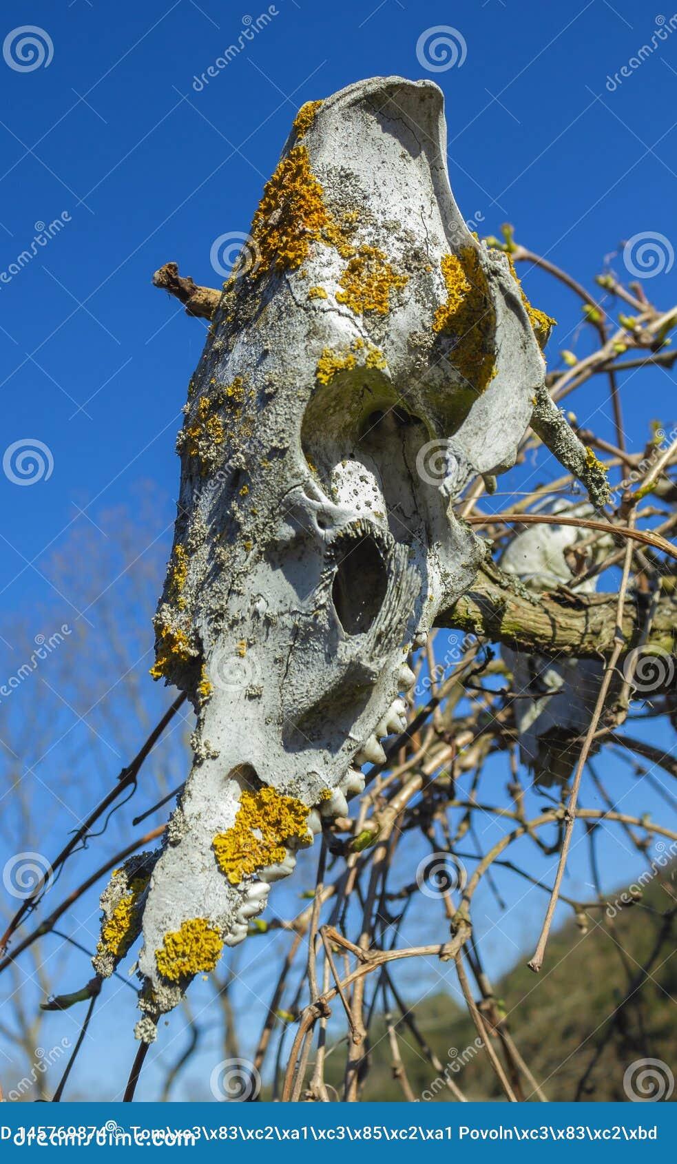 用在天空背景的地衣盖的老动物头骨