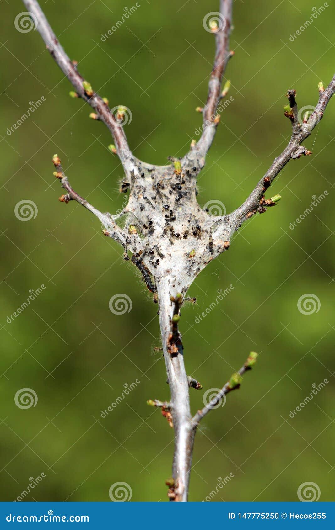 用密集的老蜘蛛网充分报道的树枝小蚂蚁和毛虫在绿色叶子背景