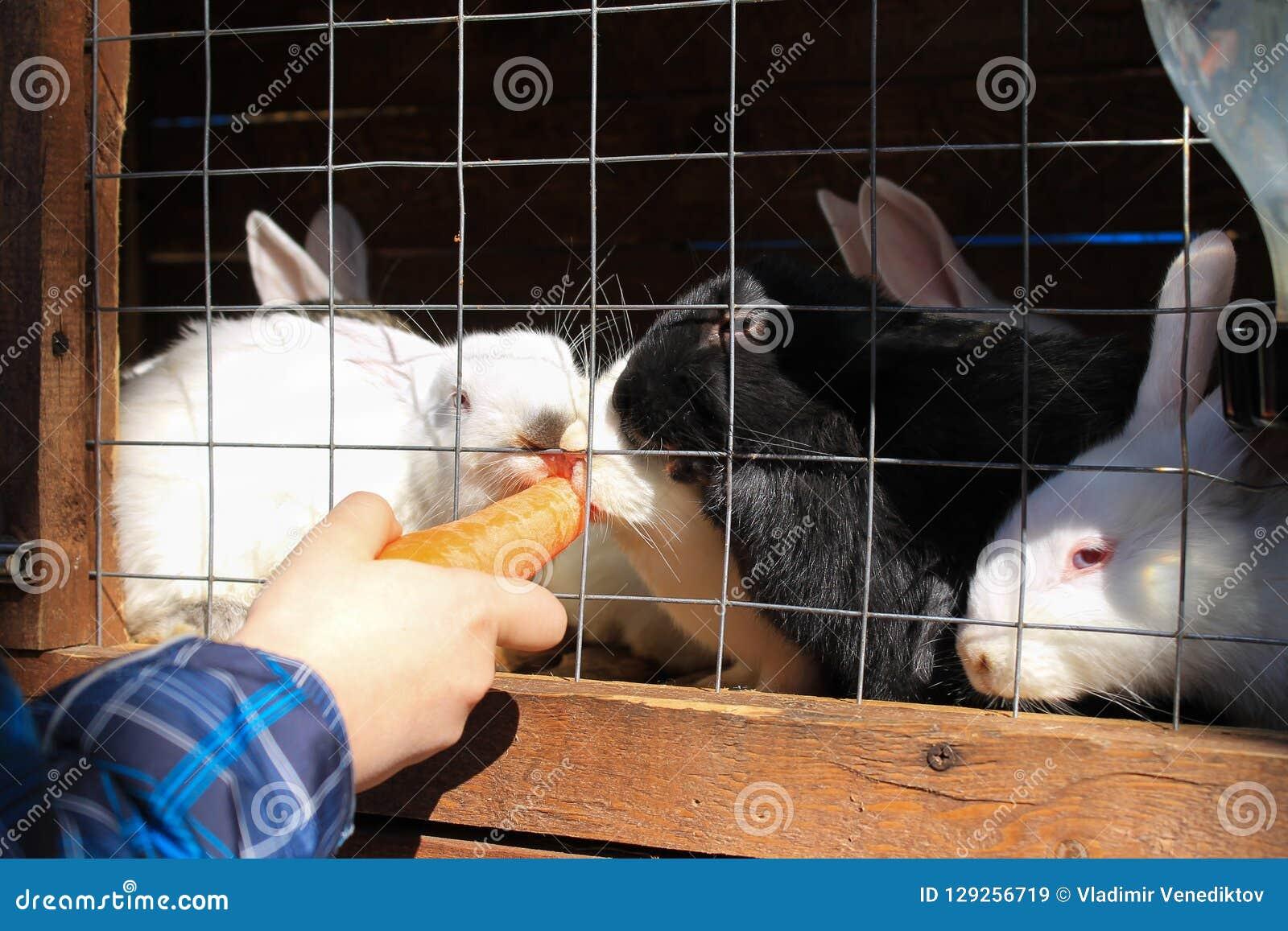 用手吃食物的一只可爱的兔子