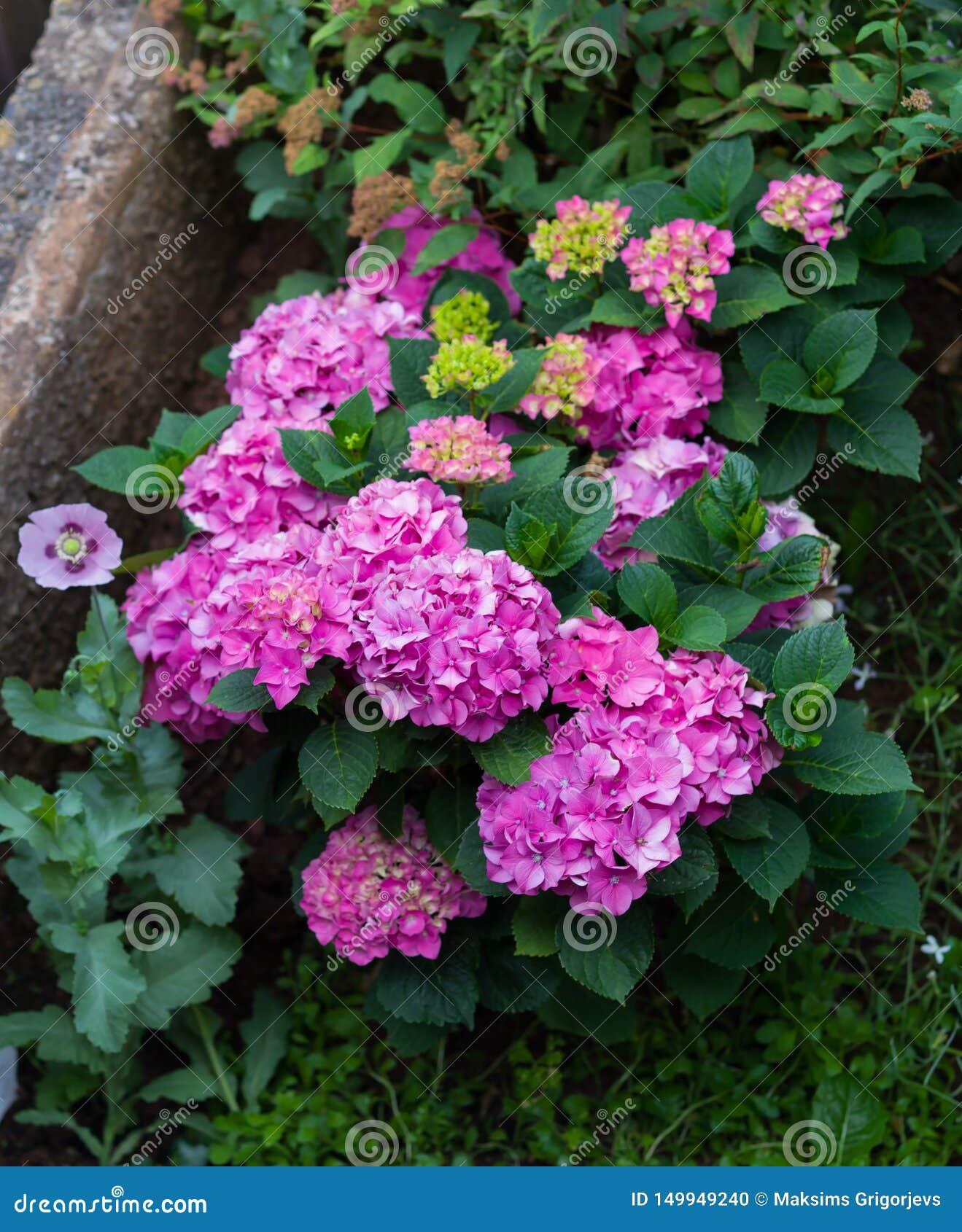 用桃红色不同的品种和颜色的美丽的八仙花属灌木和唯一桃红色鸦片在庭院里
