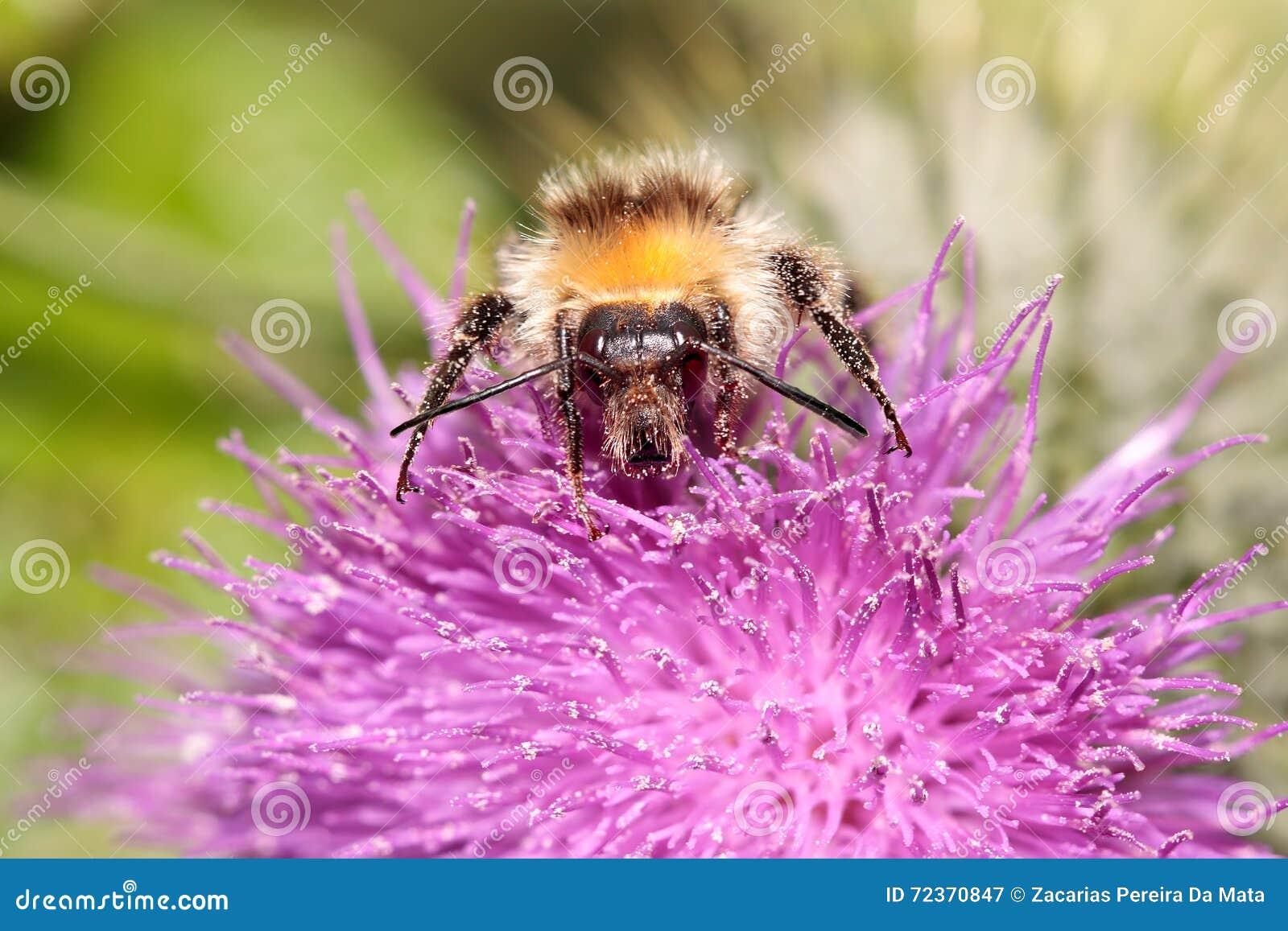 用花粉盖的土蜂