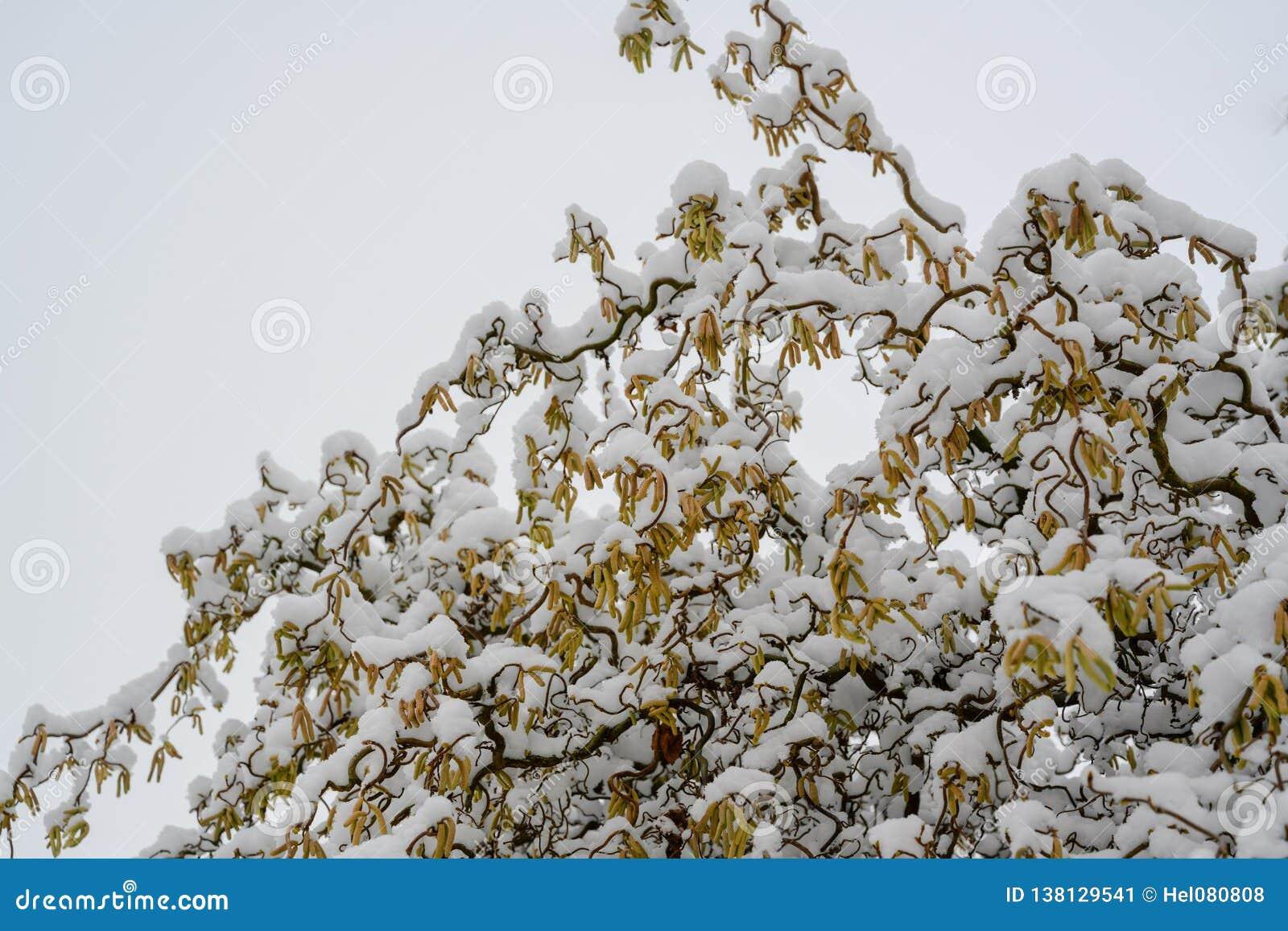 用雪盖的开花的corcscrew杨柳,柳属matsudana var tortuosa