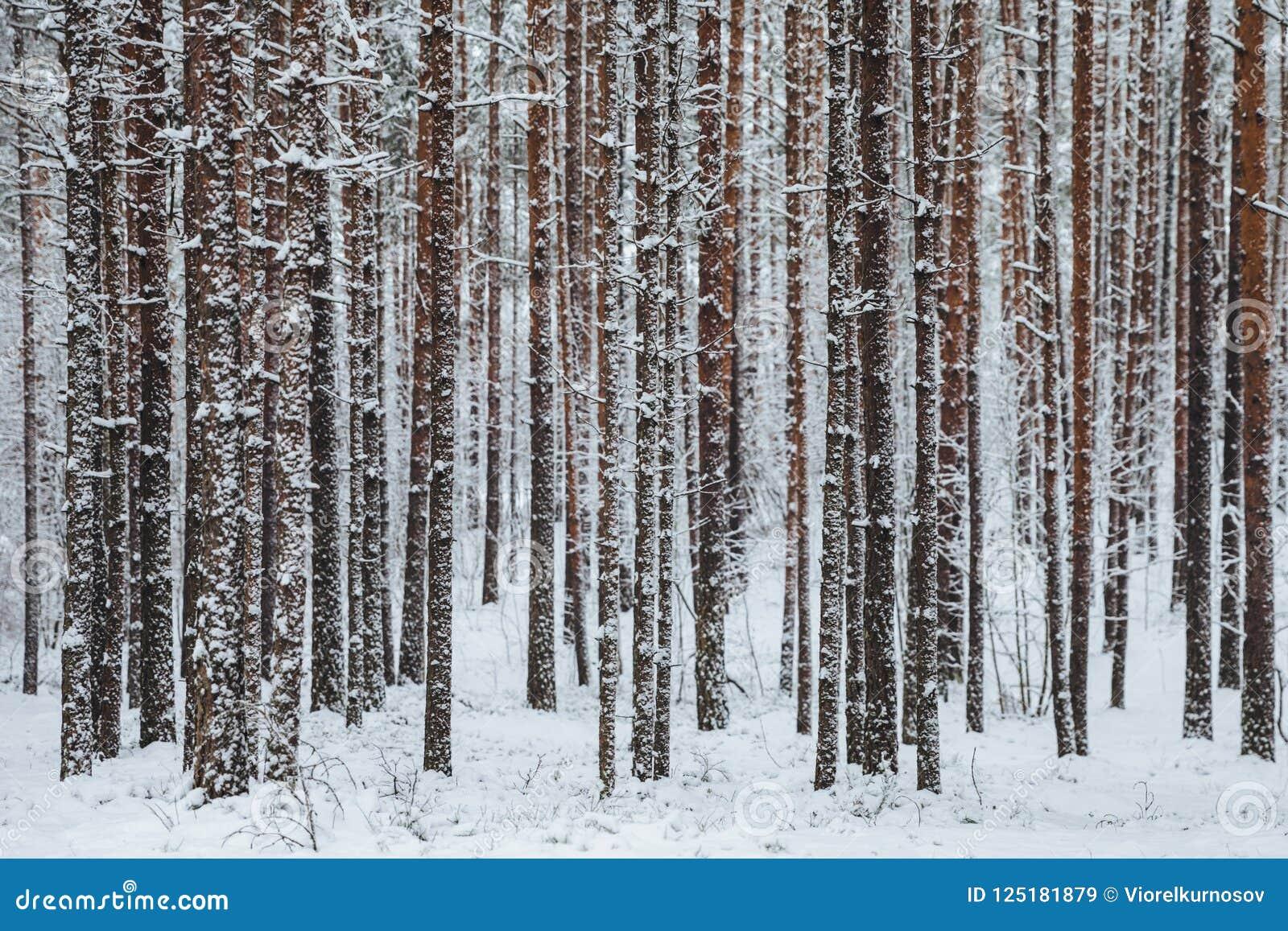 用雪盖的树美丽的冬天森林树干  33c 1月横向俄国温度ural冬天 白雪雪盖地面和树 庄严atmosp