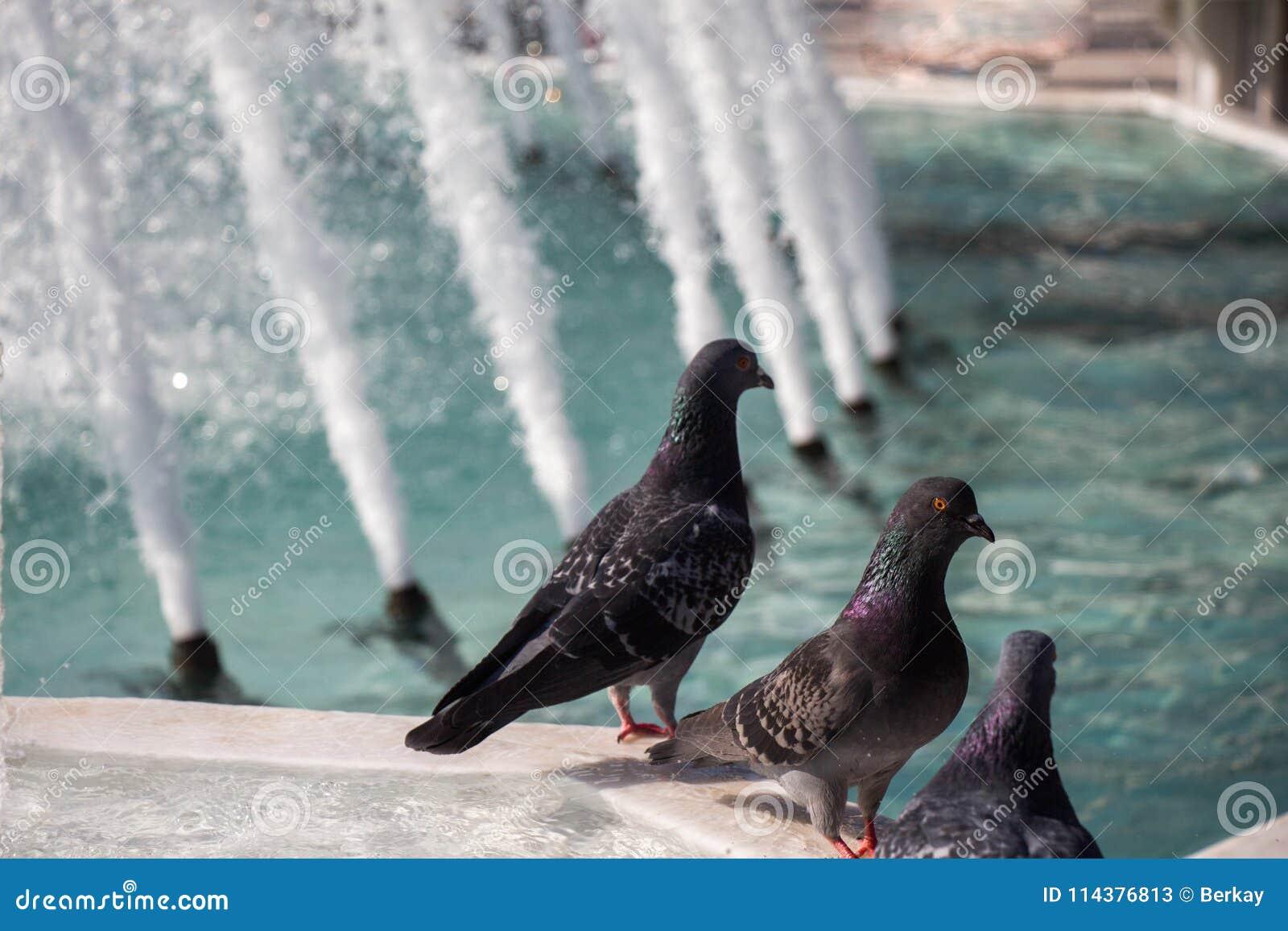 由喷泉的边的城市鸽子