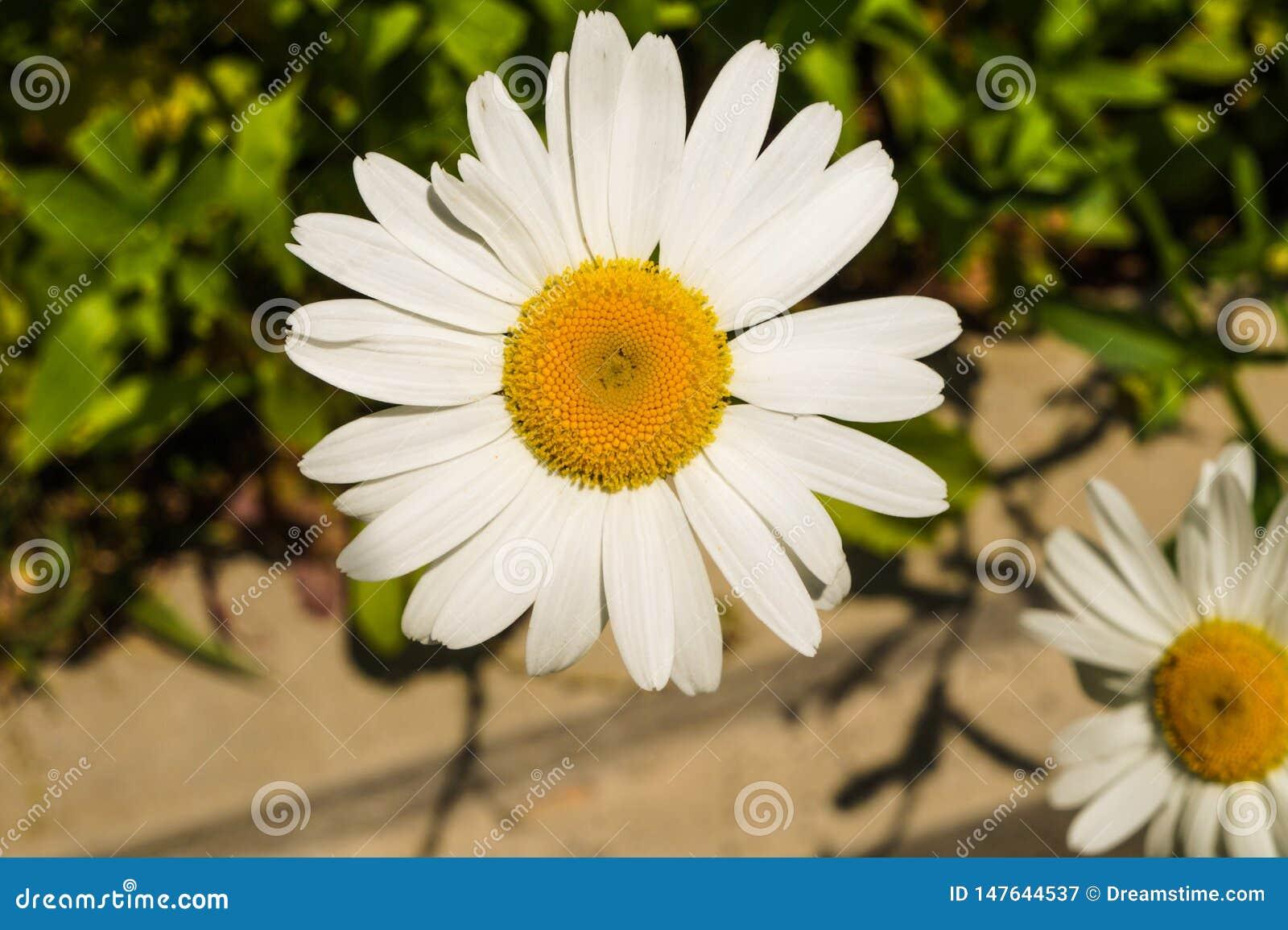 由路旁的西伯利亚菊花