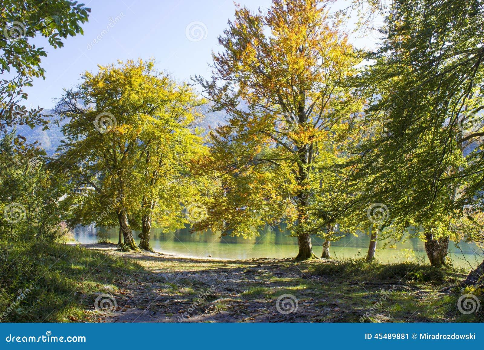 由Bohinj湖,斯洛文尼亚的老树