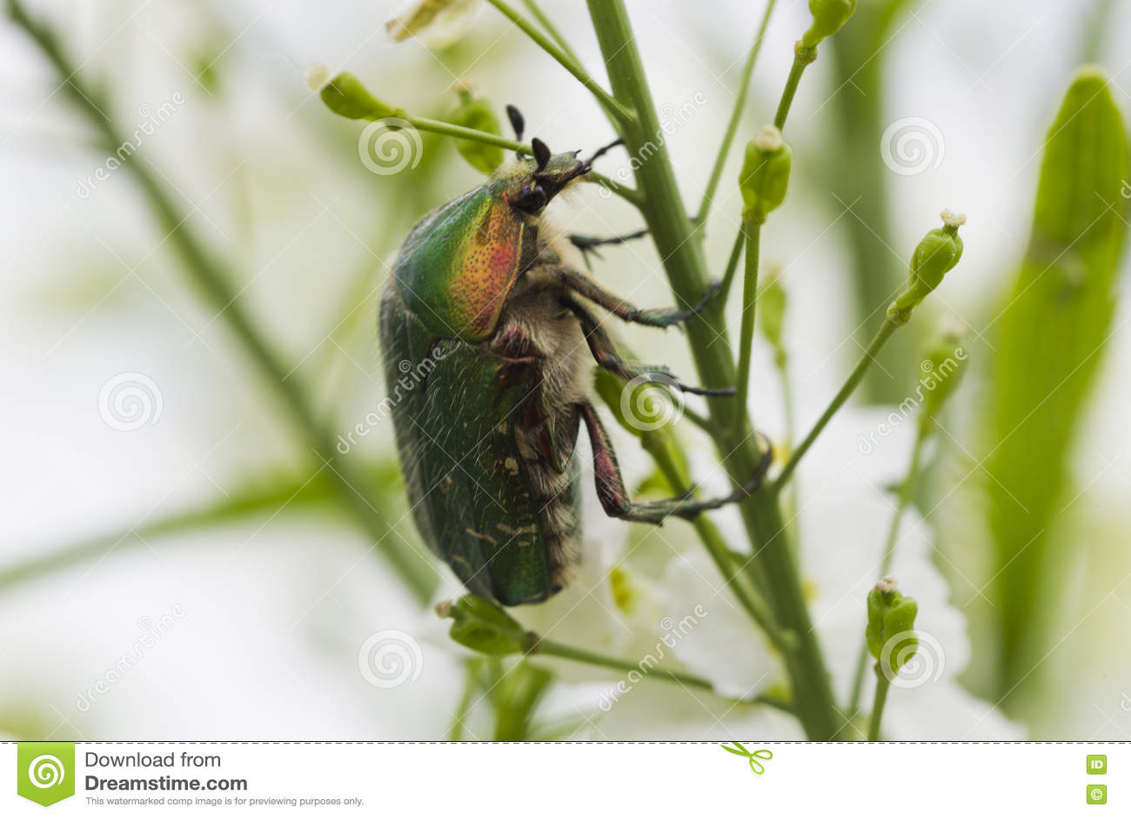 甲虫在白花的cetonia aurata
