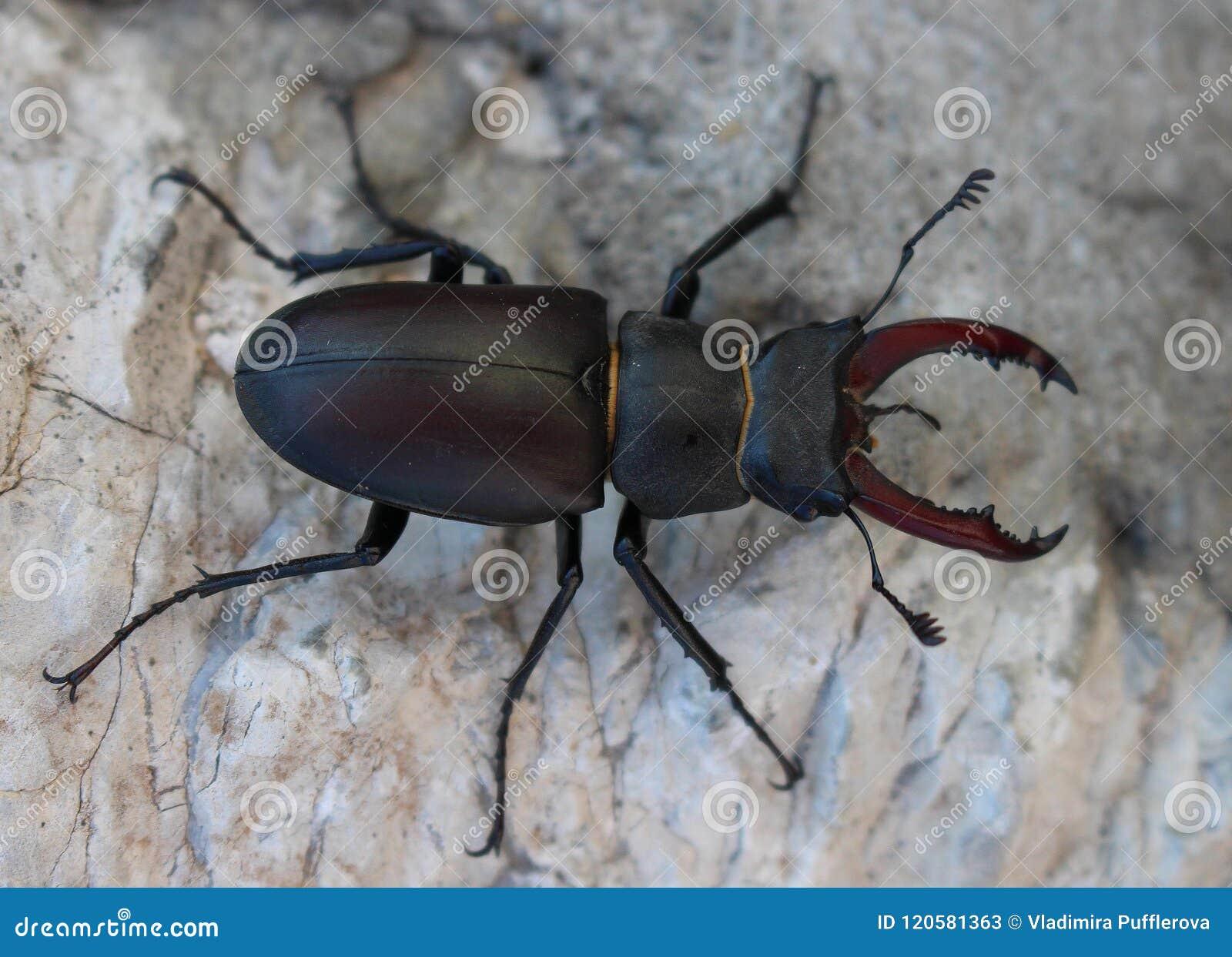 甲虫鹿lucanus雄鹿