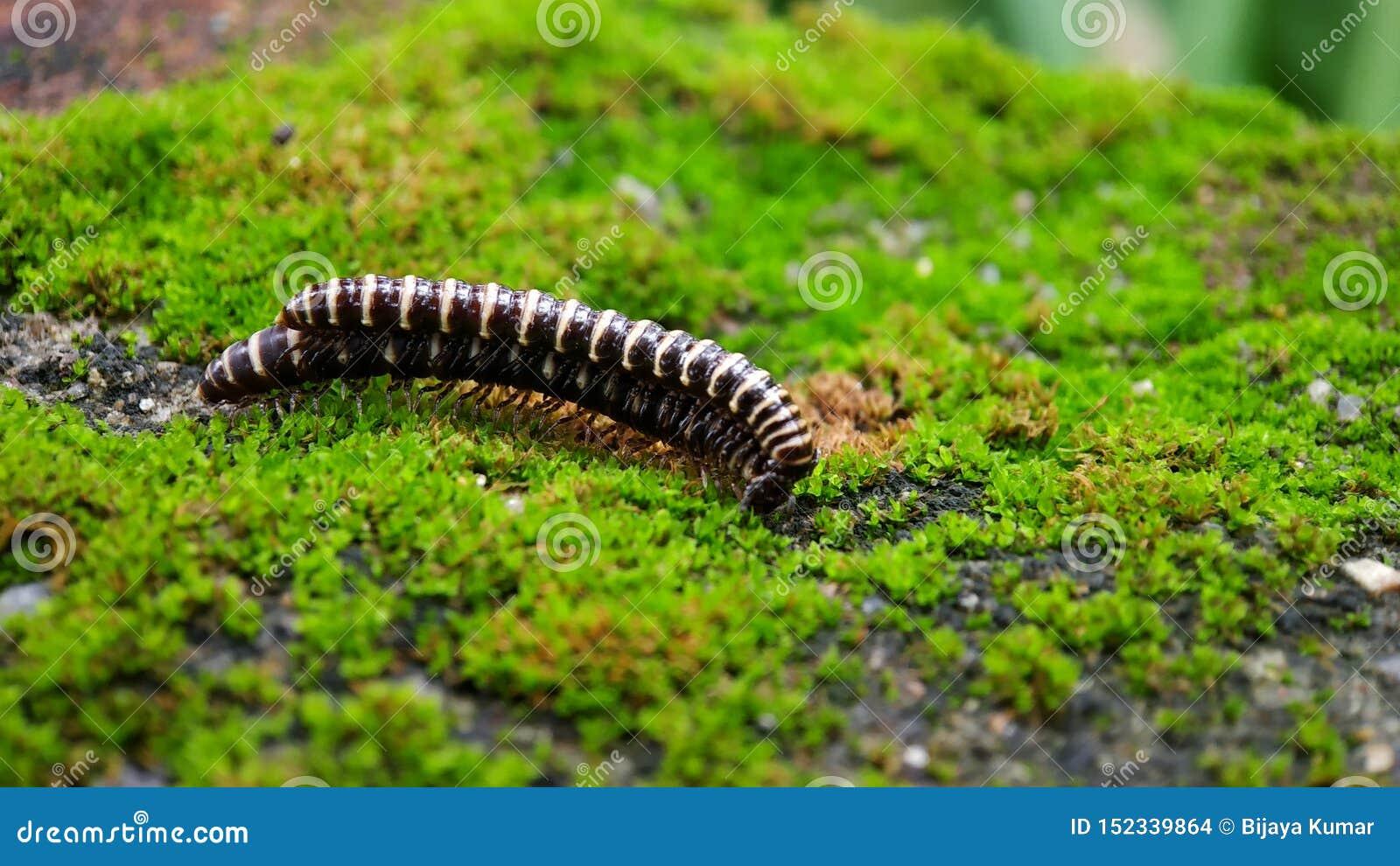 男性和女性2 -温室千足虫- Oxidus薄肌联接互相-有在墙壁上的绿藻类背景