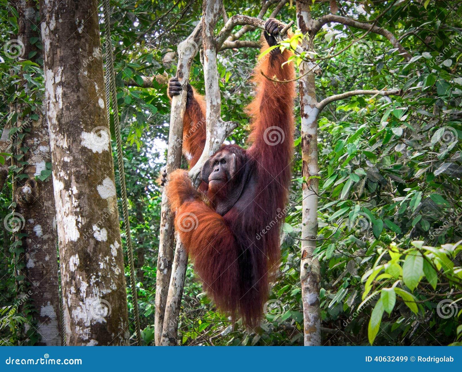 男性指道者在Semenggoh自然保护的婆罗洲猩猩,马来西亚