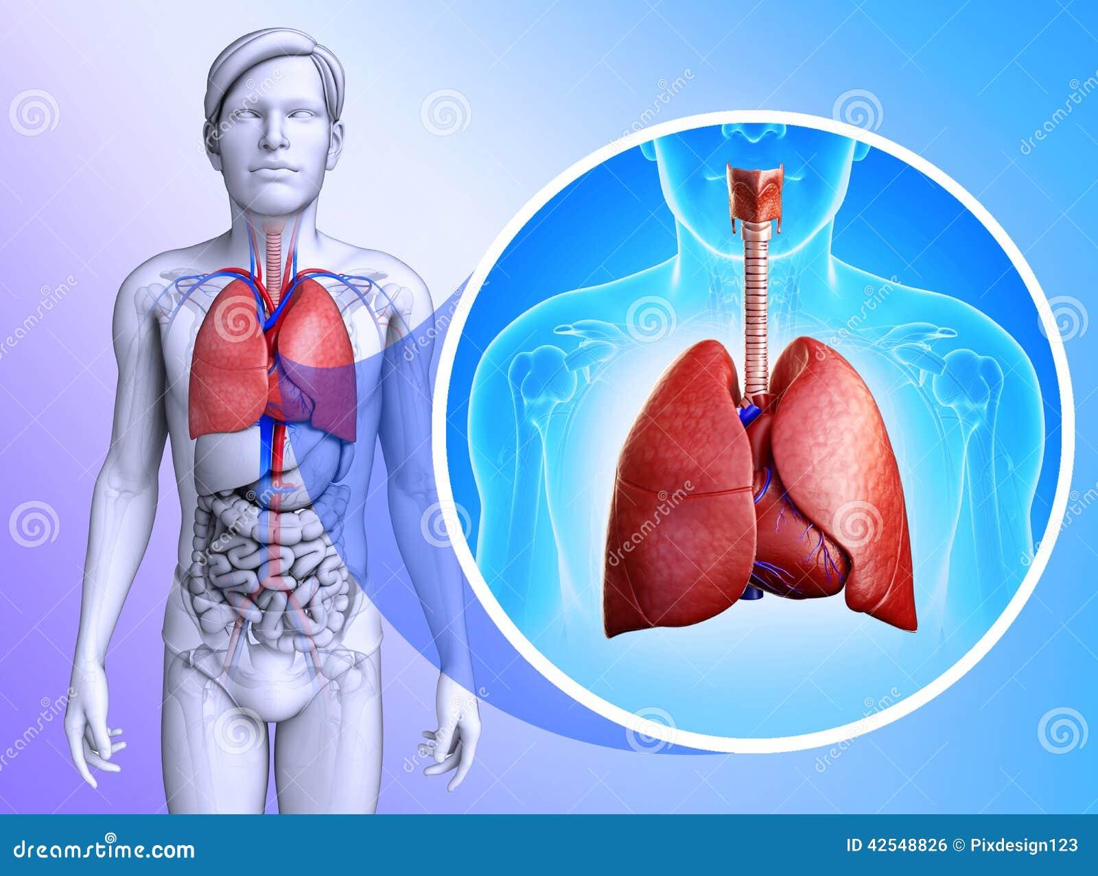 肺����y�9����_男性肺解剖学的例证.