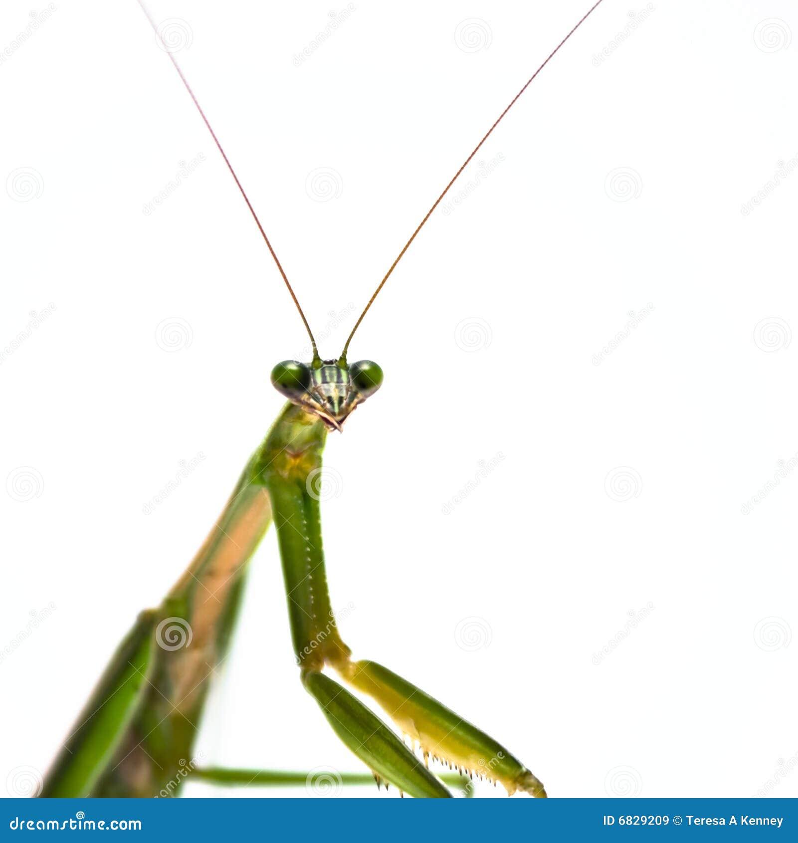 男性螳螂祈祷