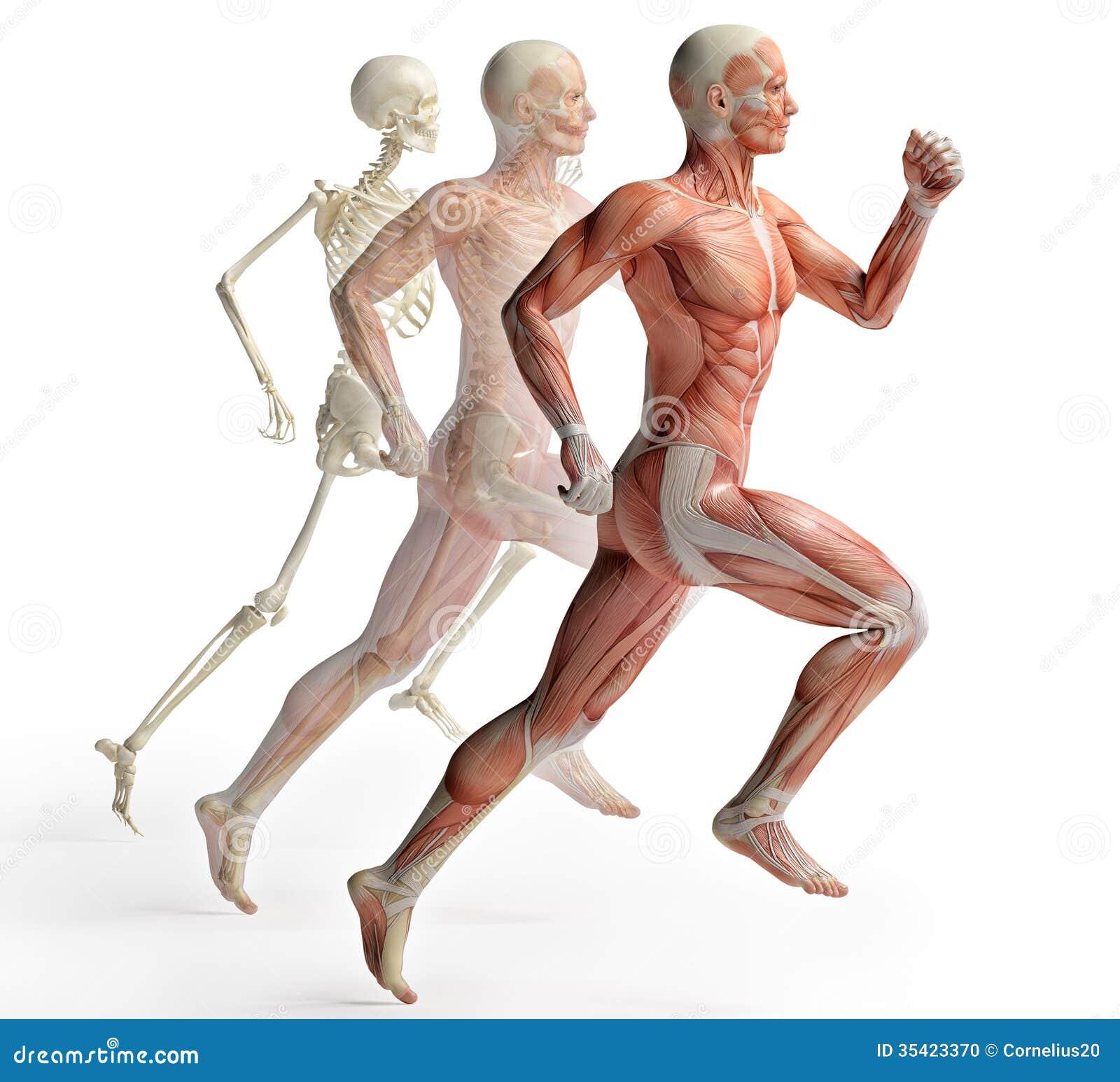 男性解剖学赛跑