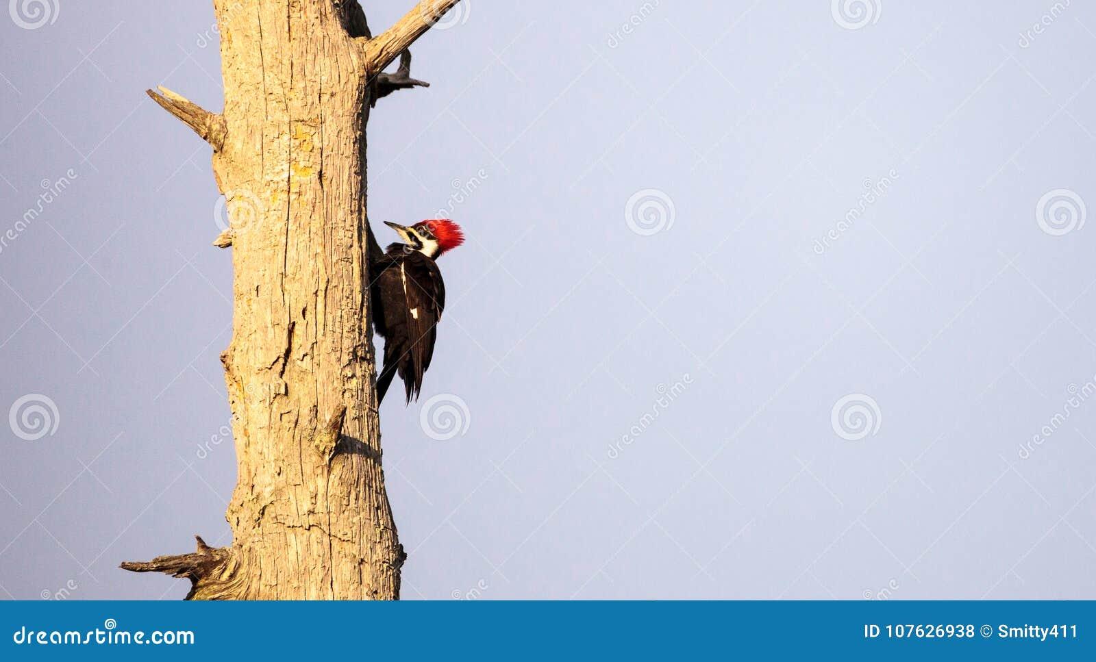 男性pileated啄木鸟鸟Dryocopus pileatus