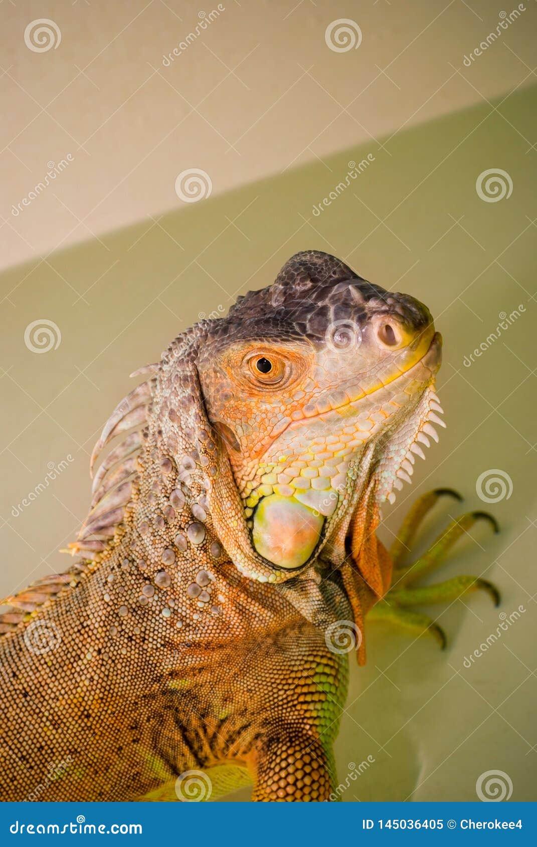 画象绿色洗每日浴异乎寻常的宠物的鬣鳞蜥爬行动物