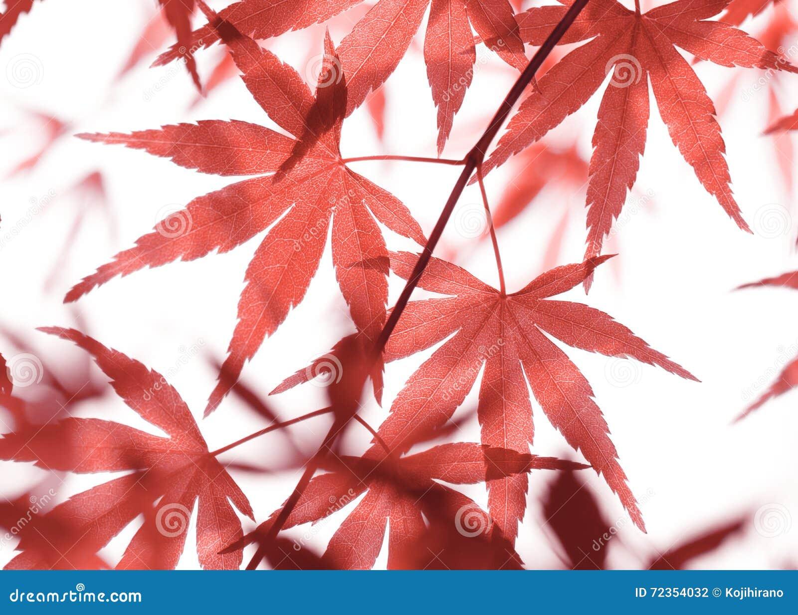 留下槭树红色
