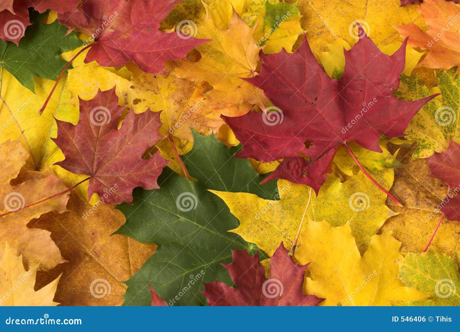 Download 留下槭树 库存照片. 图片 包括有 植物群, 图象, 关闭, 背包, 秋天, 花卉, 本质, 结构, 季节性 - 546406