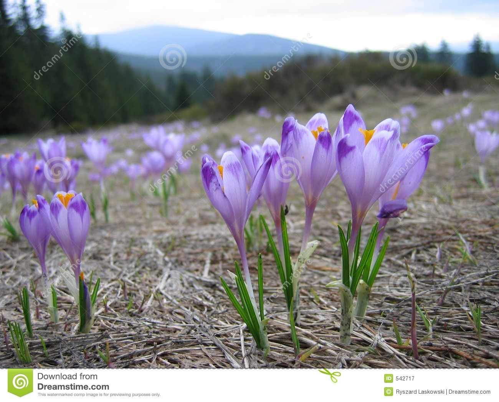 Download 番红花 库存图片. 图片 包括有 番红花, 紫罗兰色, 波兰, 春天, 绽放, 横向, 欧洲, 工厂 - 542717