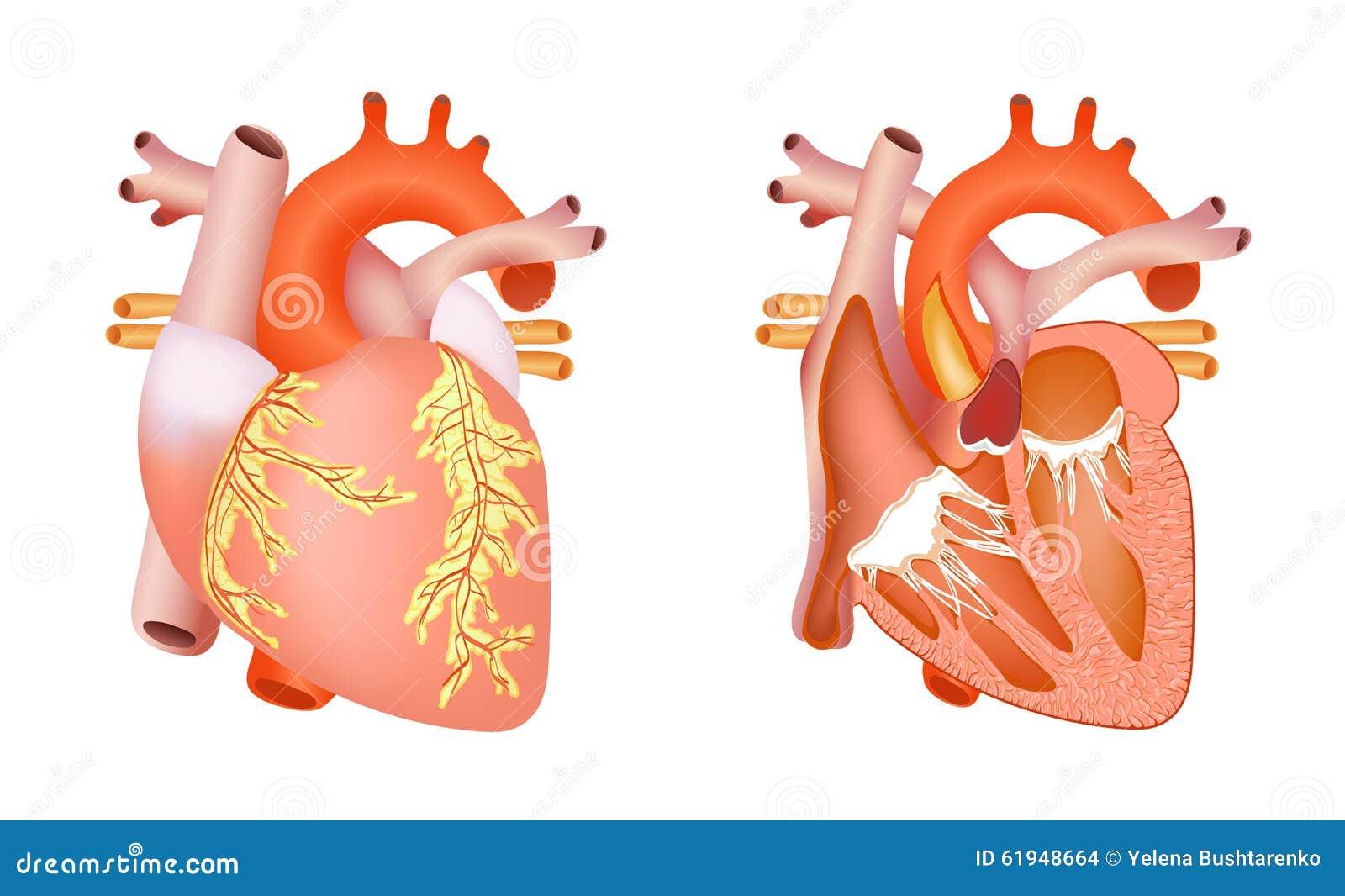 向量例证: 医疗人的心脏图片