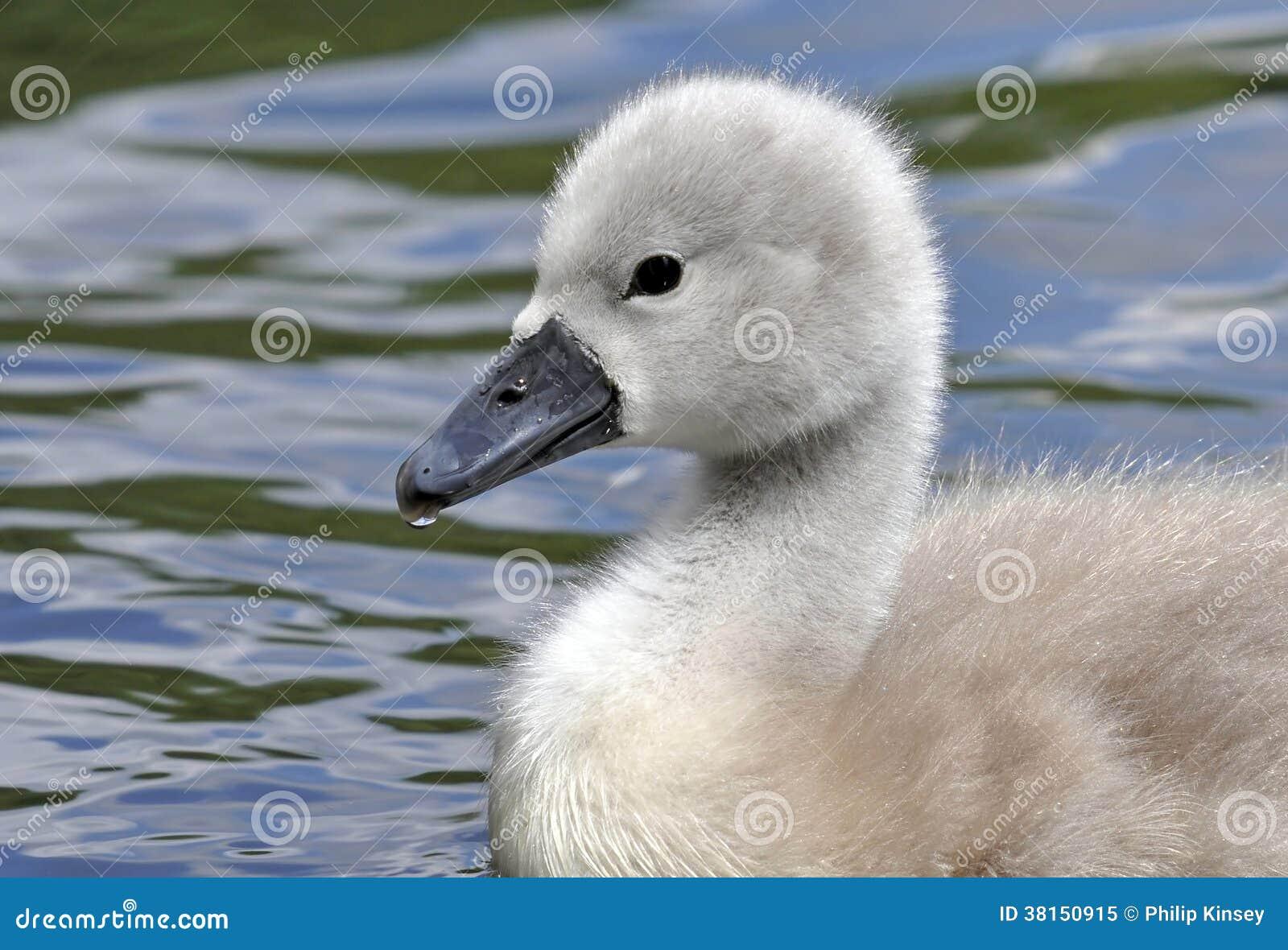 年轻疣鼻天鹅小鸡