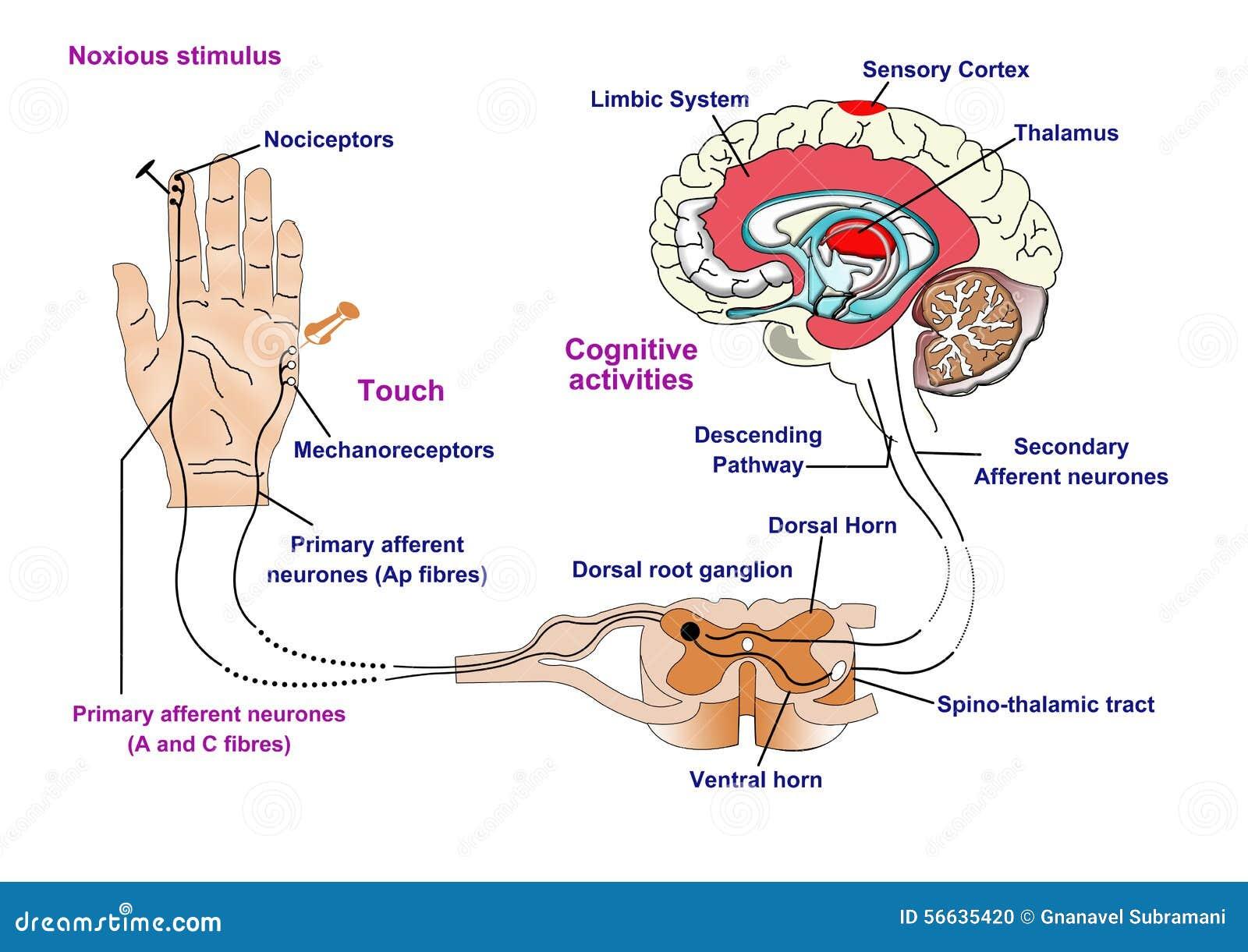 痛苦和接触的神经反应 库存例证 插画 包括有 垫铁 主要 演员 Delta 绳子 例证 知觉