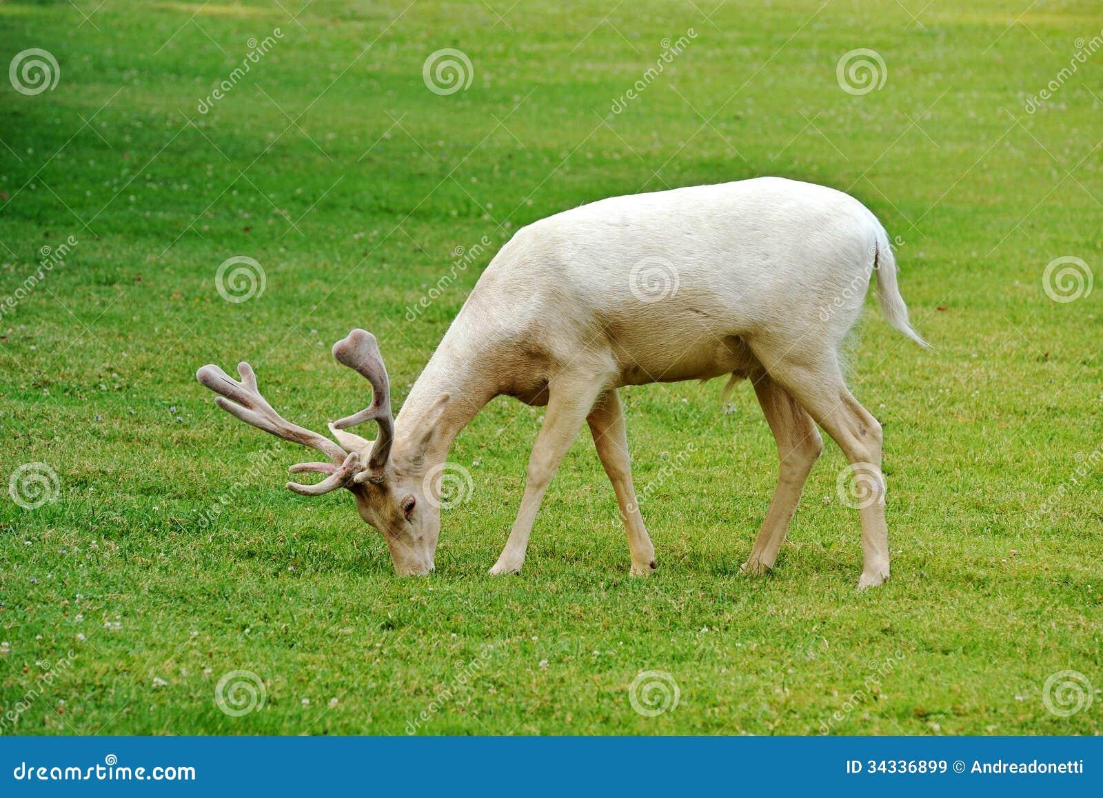 白变种小鹿