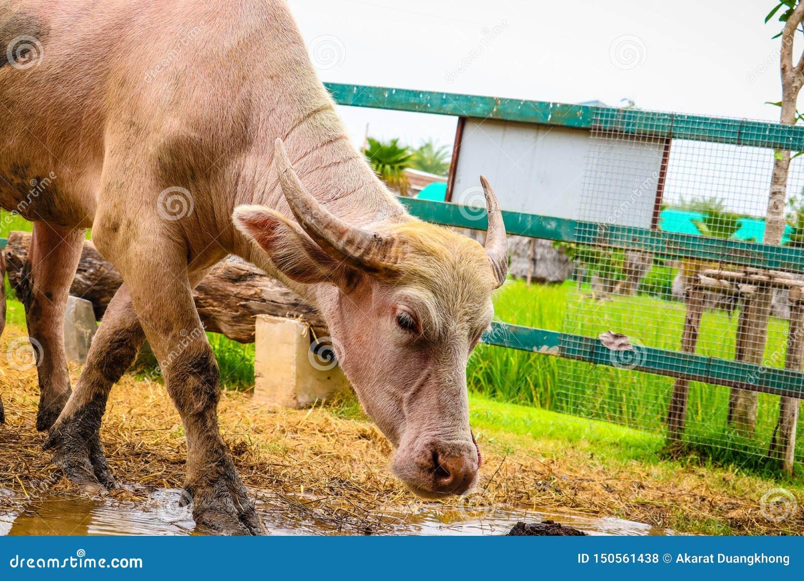 白变种水牛在农场