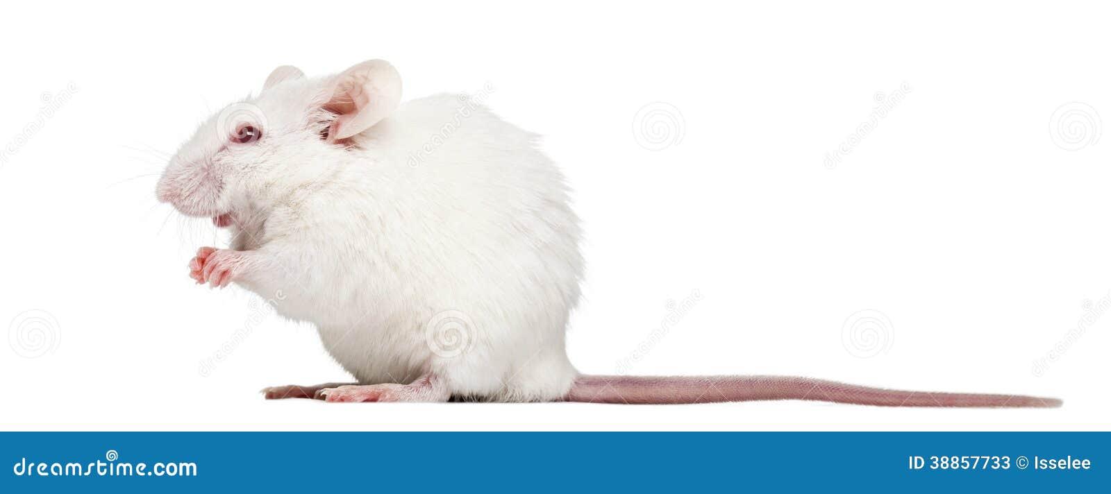 白���l��8ࢹ��9h�_白变种白色老鼠开会的侧视图, mus肌肉,隔绝在白色.