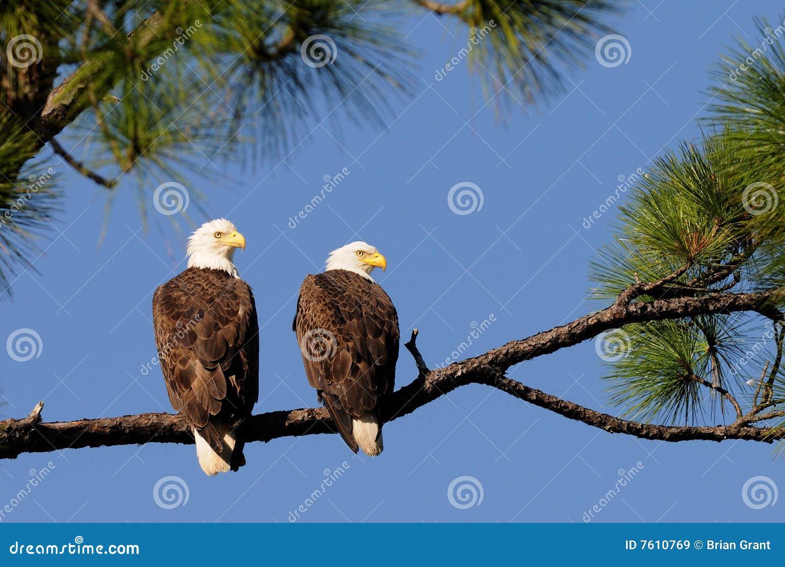 白头鹰饰面对纠正