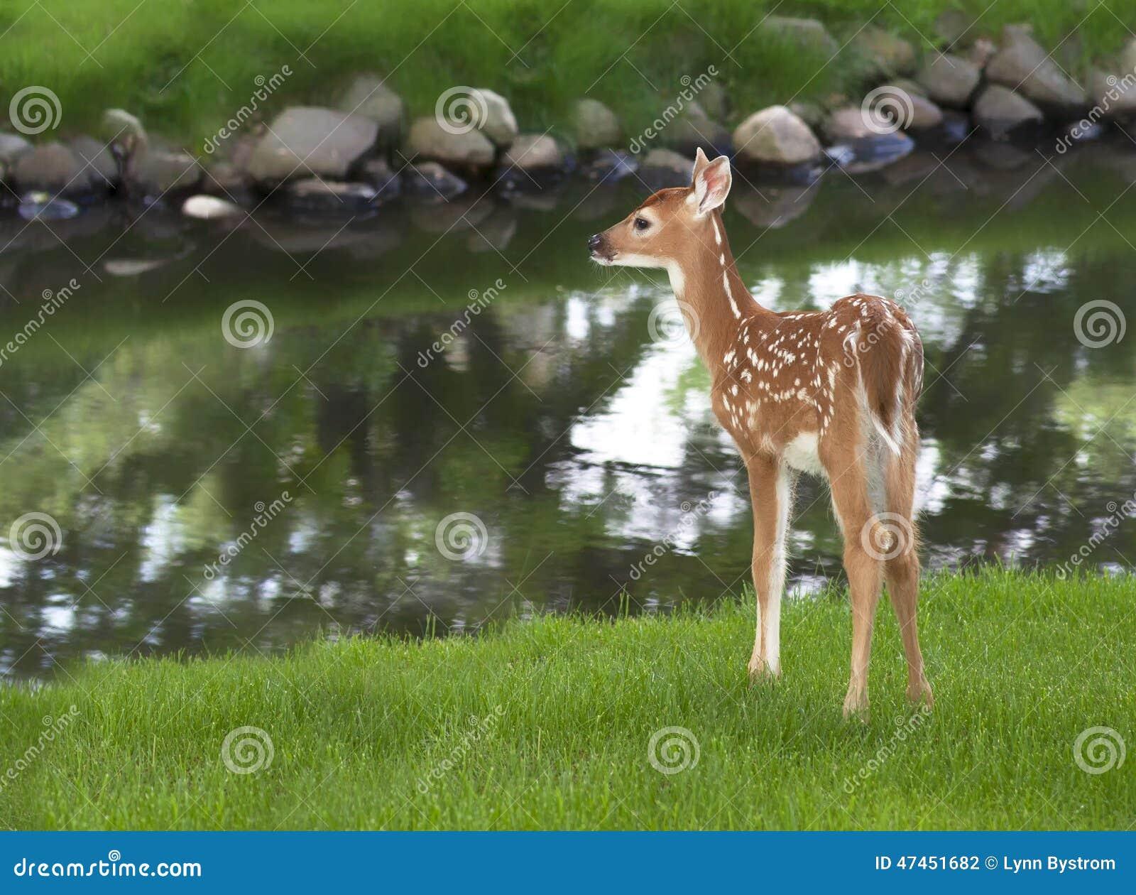 白尾鹿小鹿