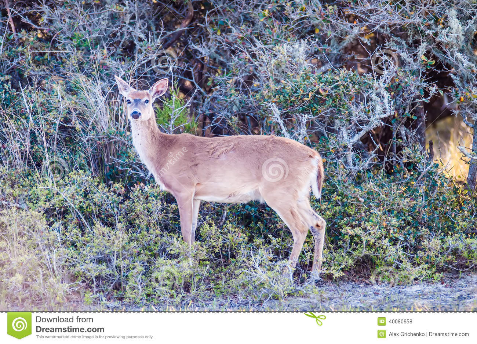 白尾鹿bambi