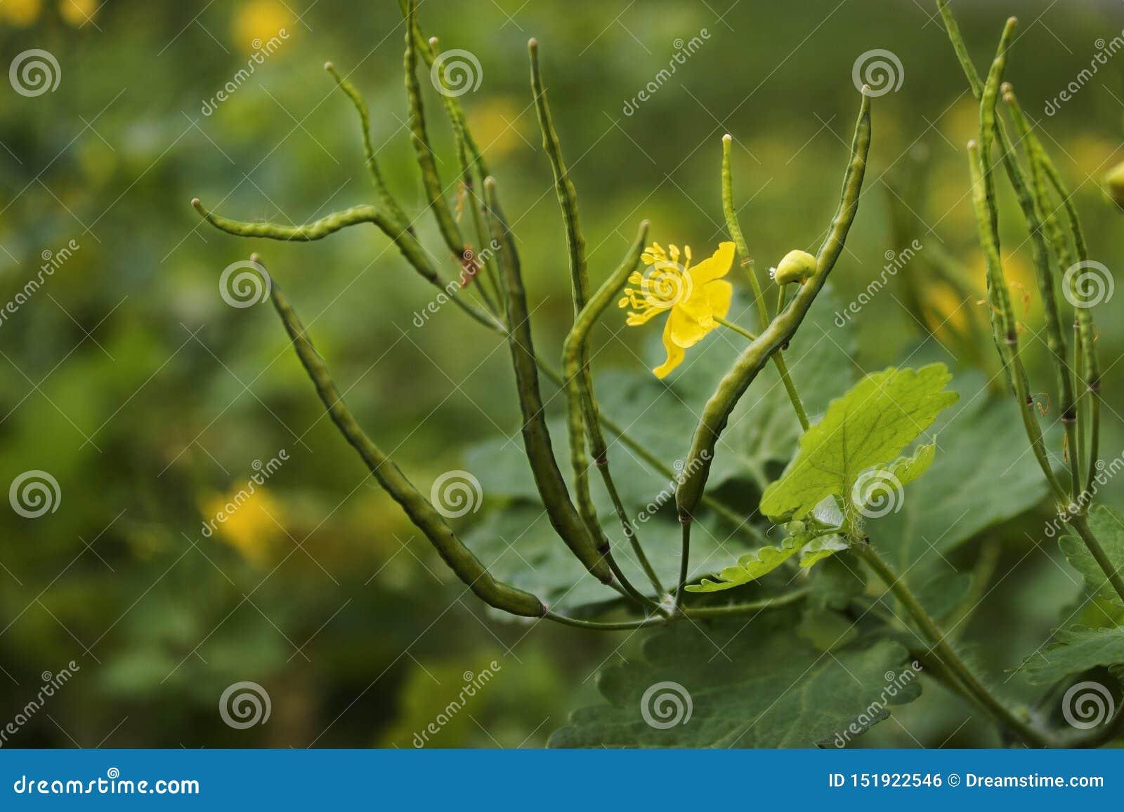 白屈菜黄色花  有种子的荚