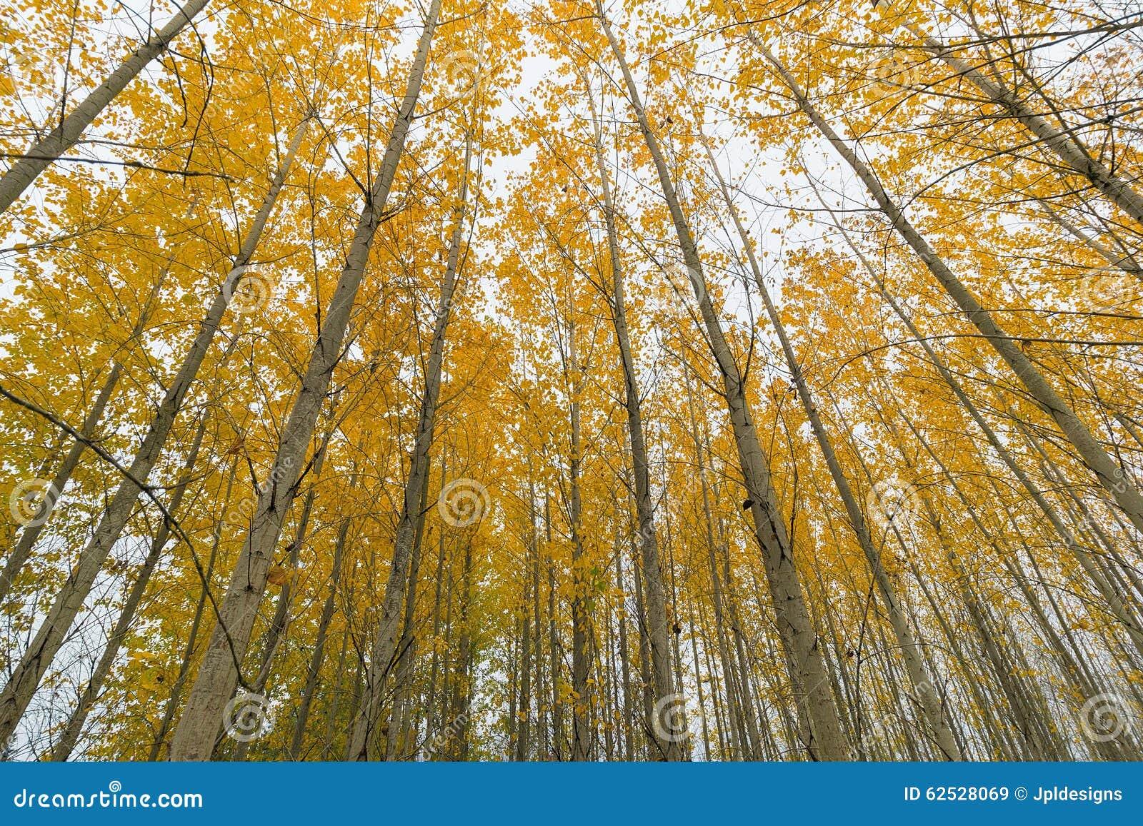 白扬树在秋天的树丛机盖
