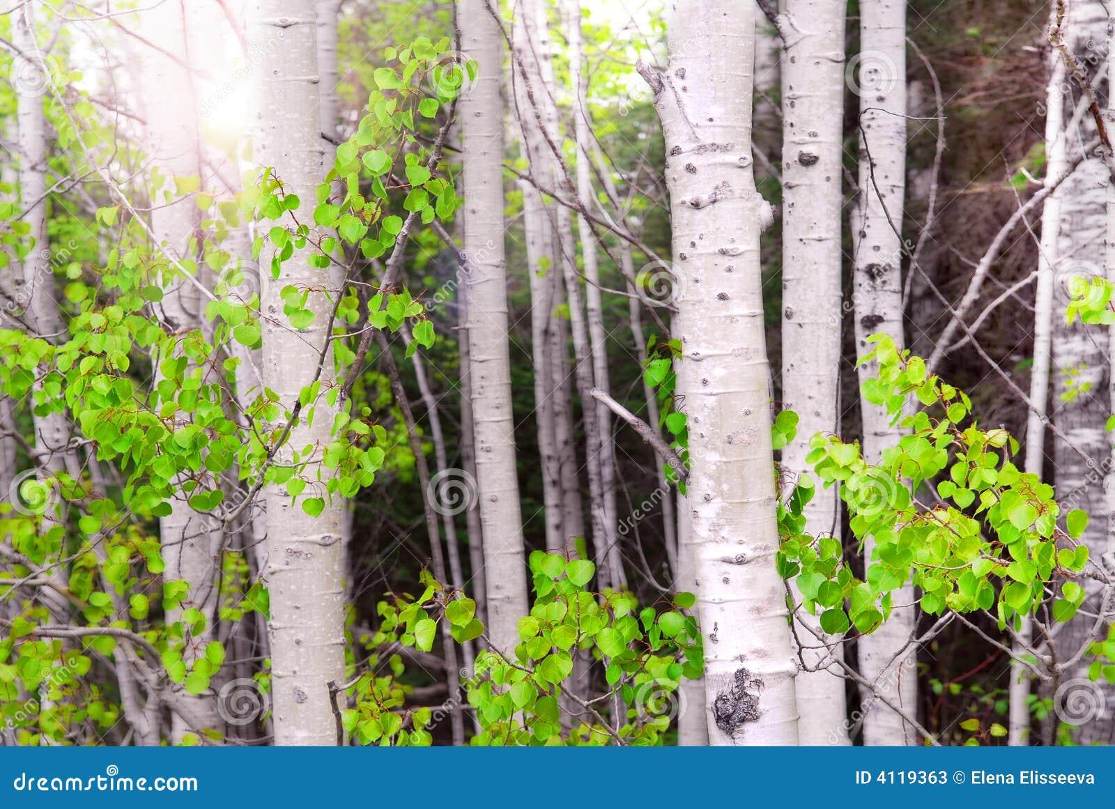 白杨木树丛