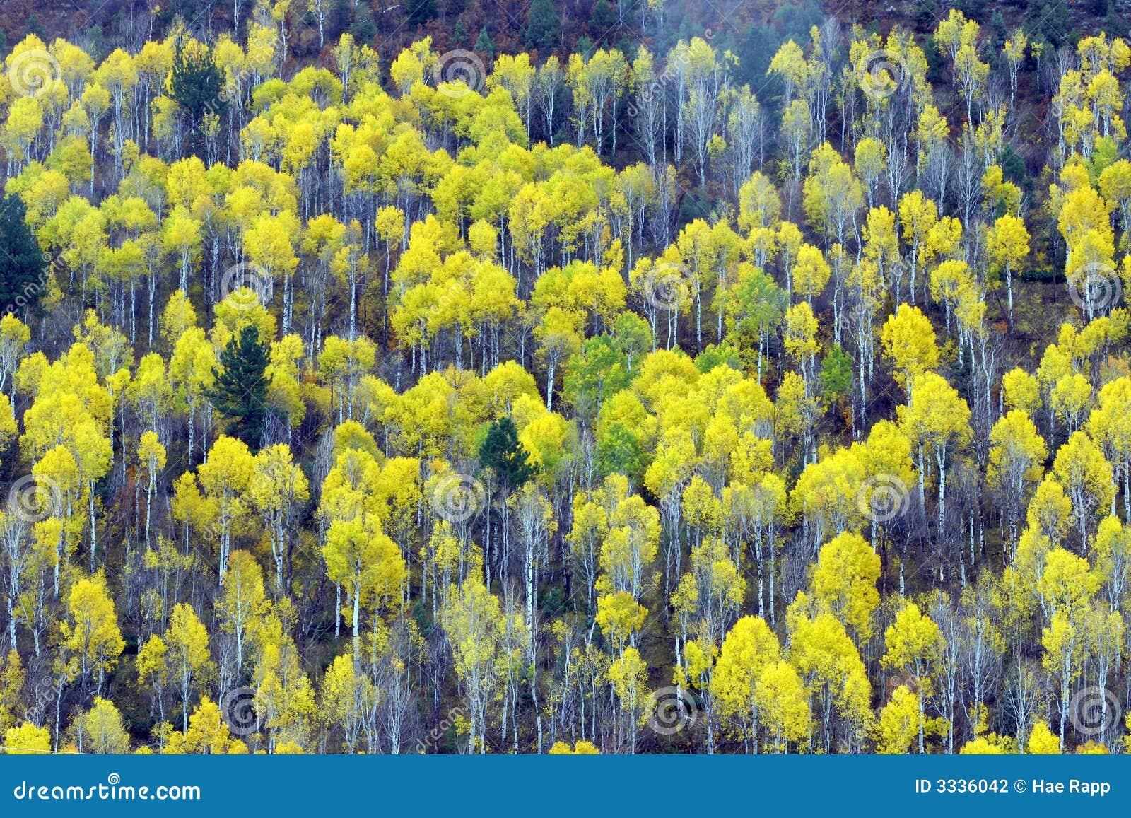 白杨木结构树