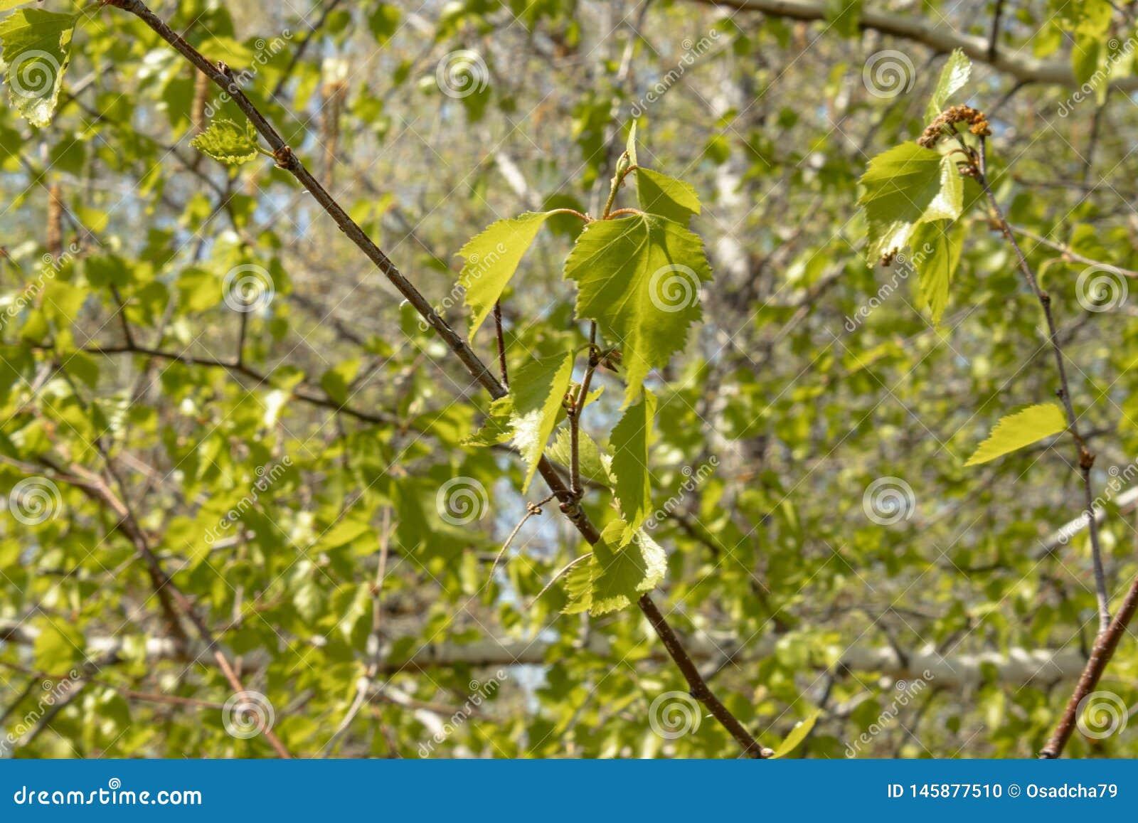 白桦绿色叶子在前景的