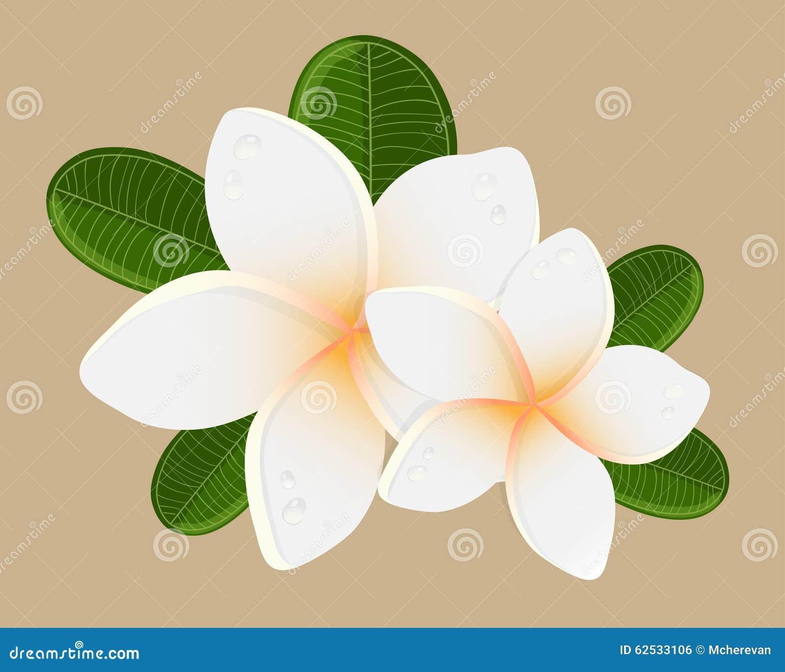 白色两赤素馨花花的传染媒介例证