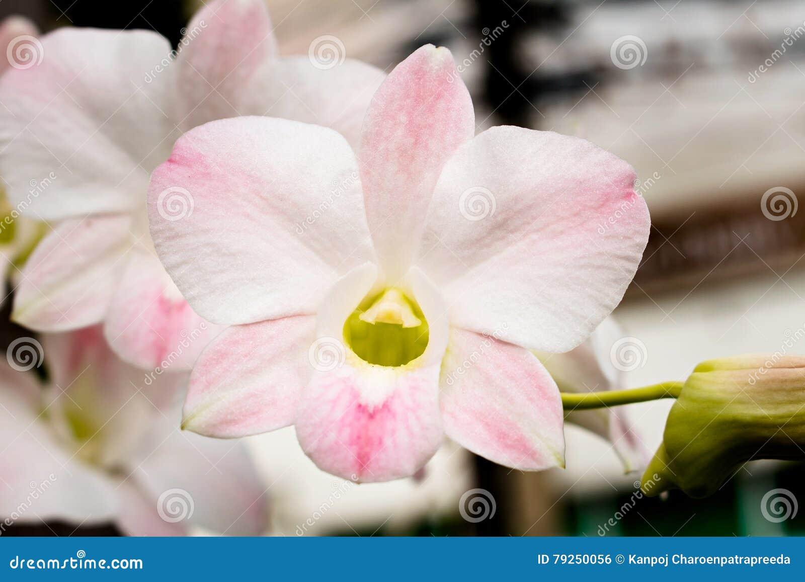 白色兰花花,在夏天自然