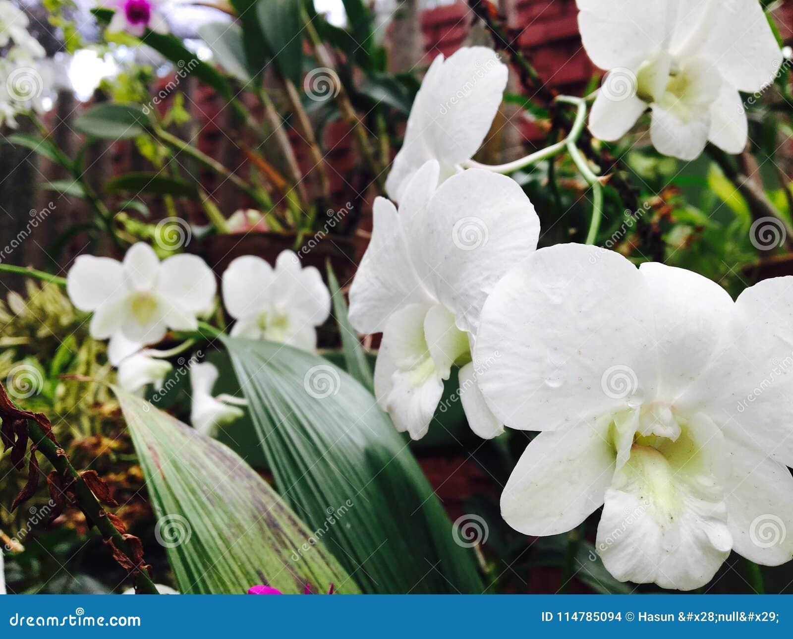 白色兰花花