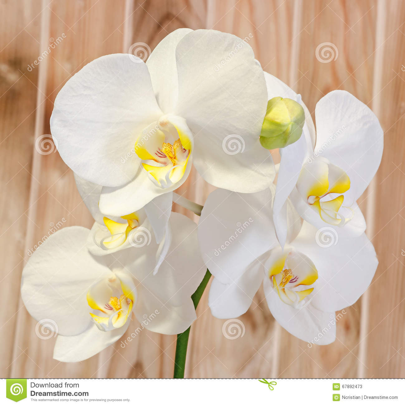 白色分支兰花开花与芽,兰科,叫作蝴蝶兰的兰花植物 木背景