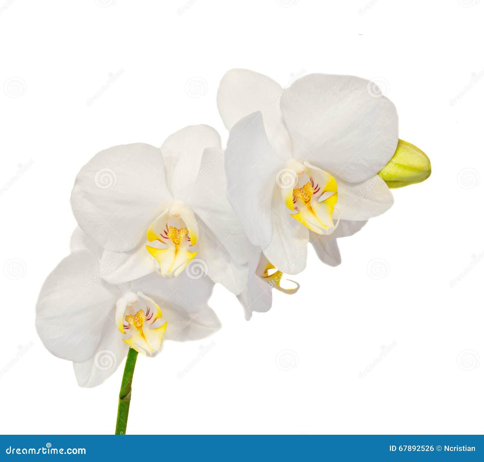 白色分支兰花开花与芽,兰科,叫作蝴蝶兰的兰花植物
