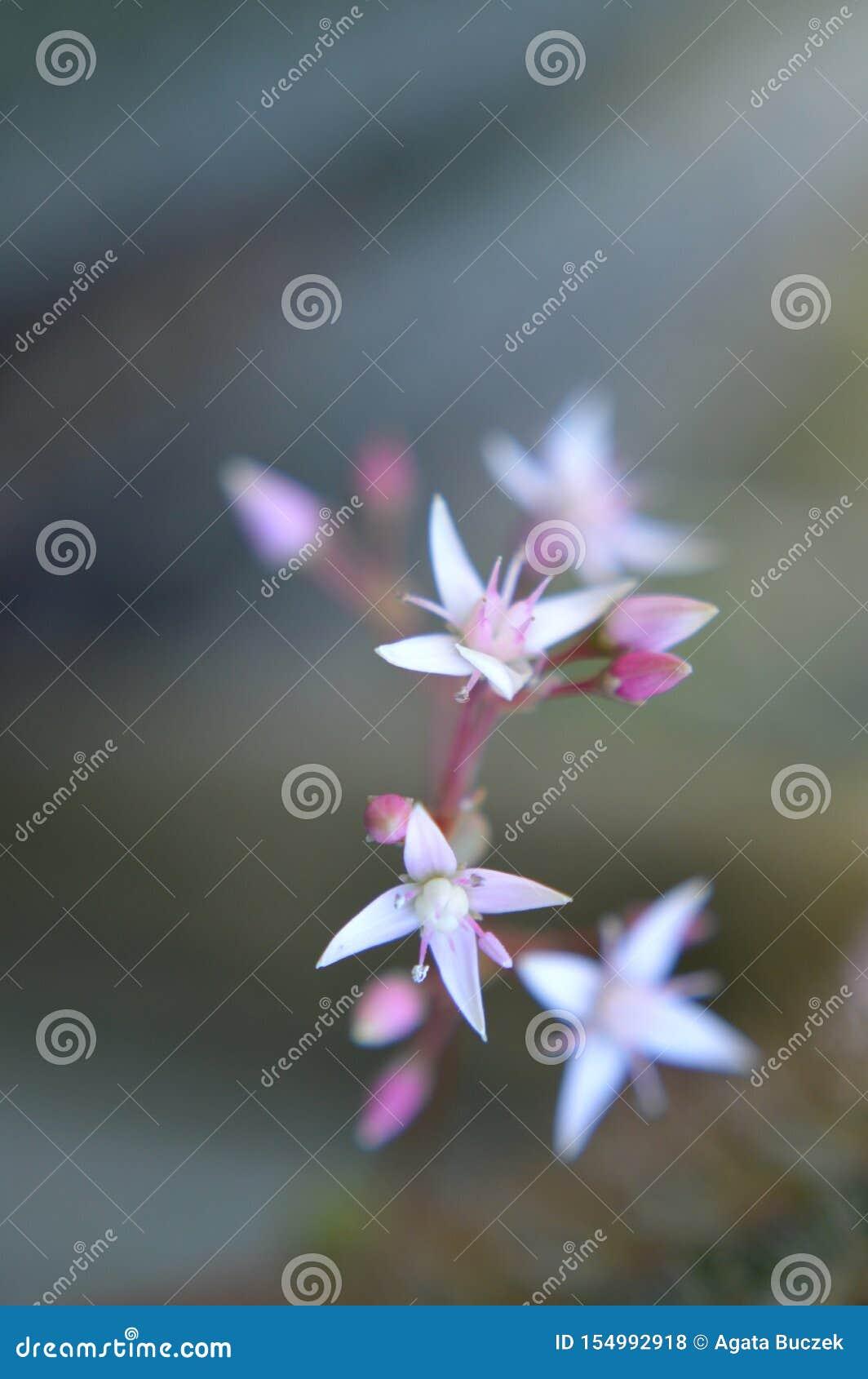 白色和桃红色微小的仙人掌花
